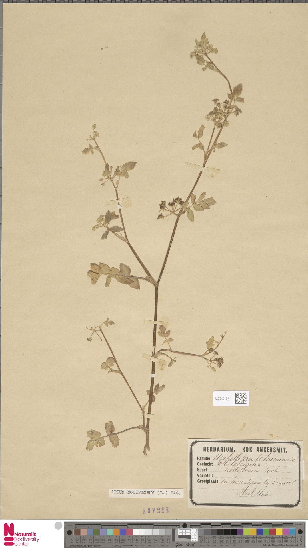 L.3340107 | Apium nodiflorum (L.) Lag.