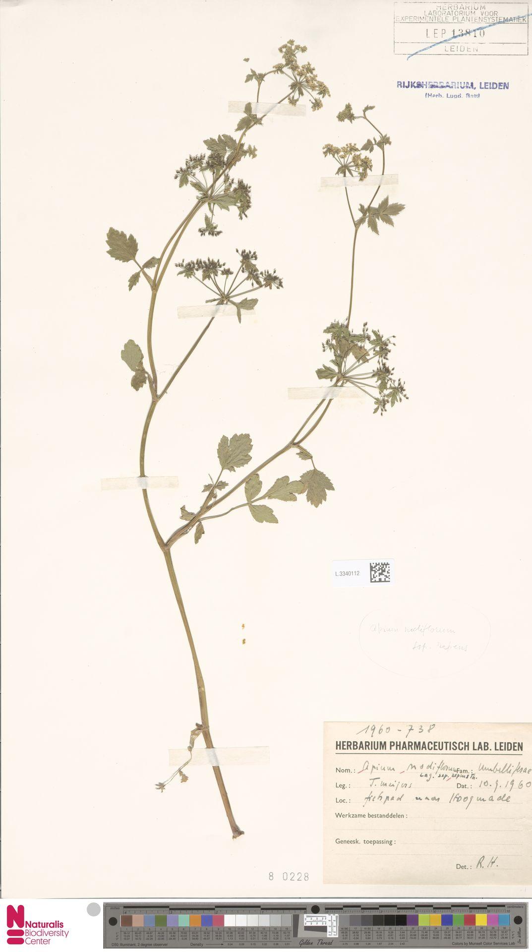 L.3340112   Apium nodiflorum (L.) Lag.
