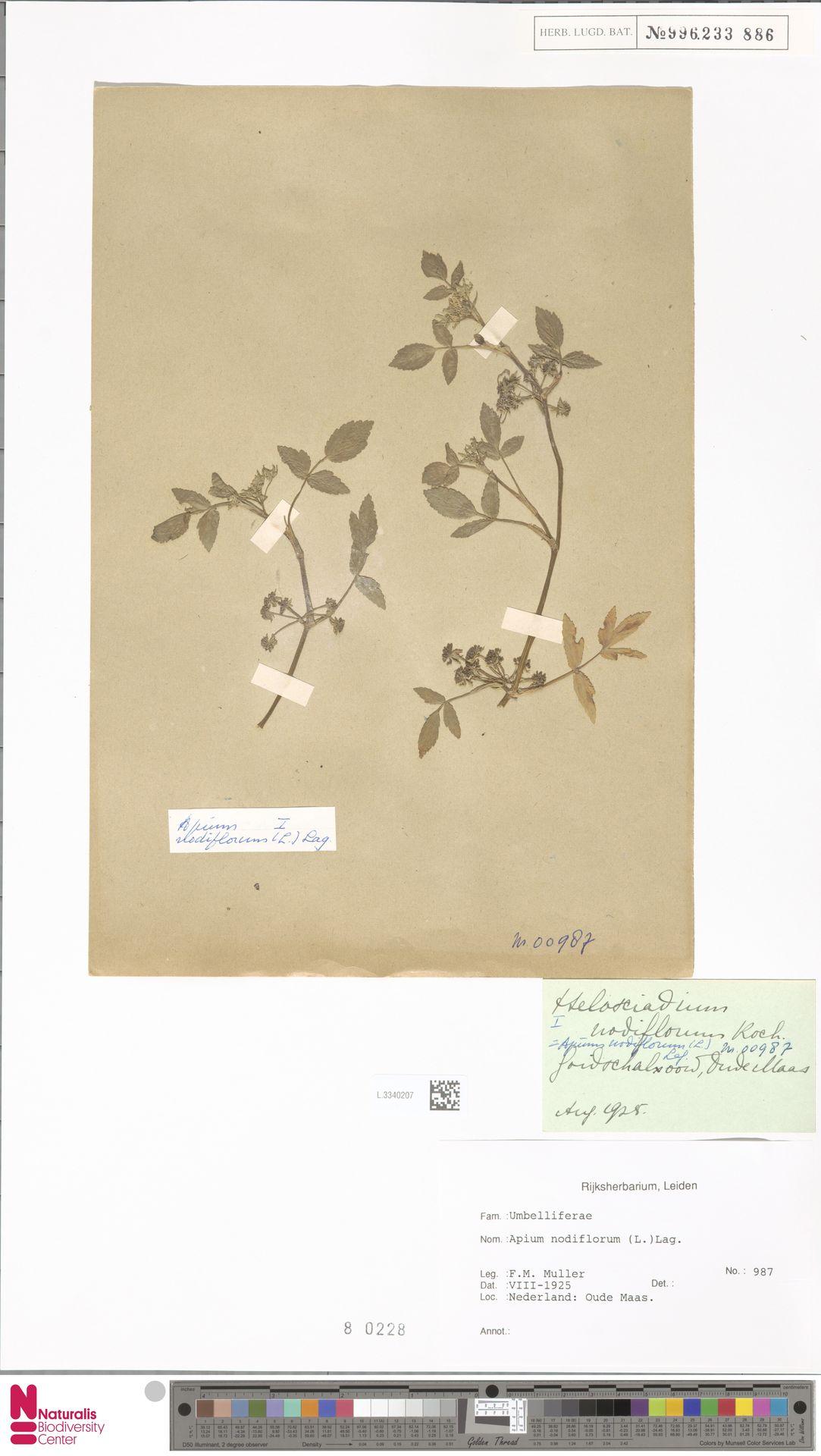 L.3340207 | Apium nodiflorum (L.) Lag.