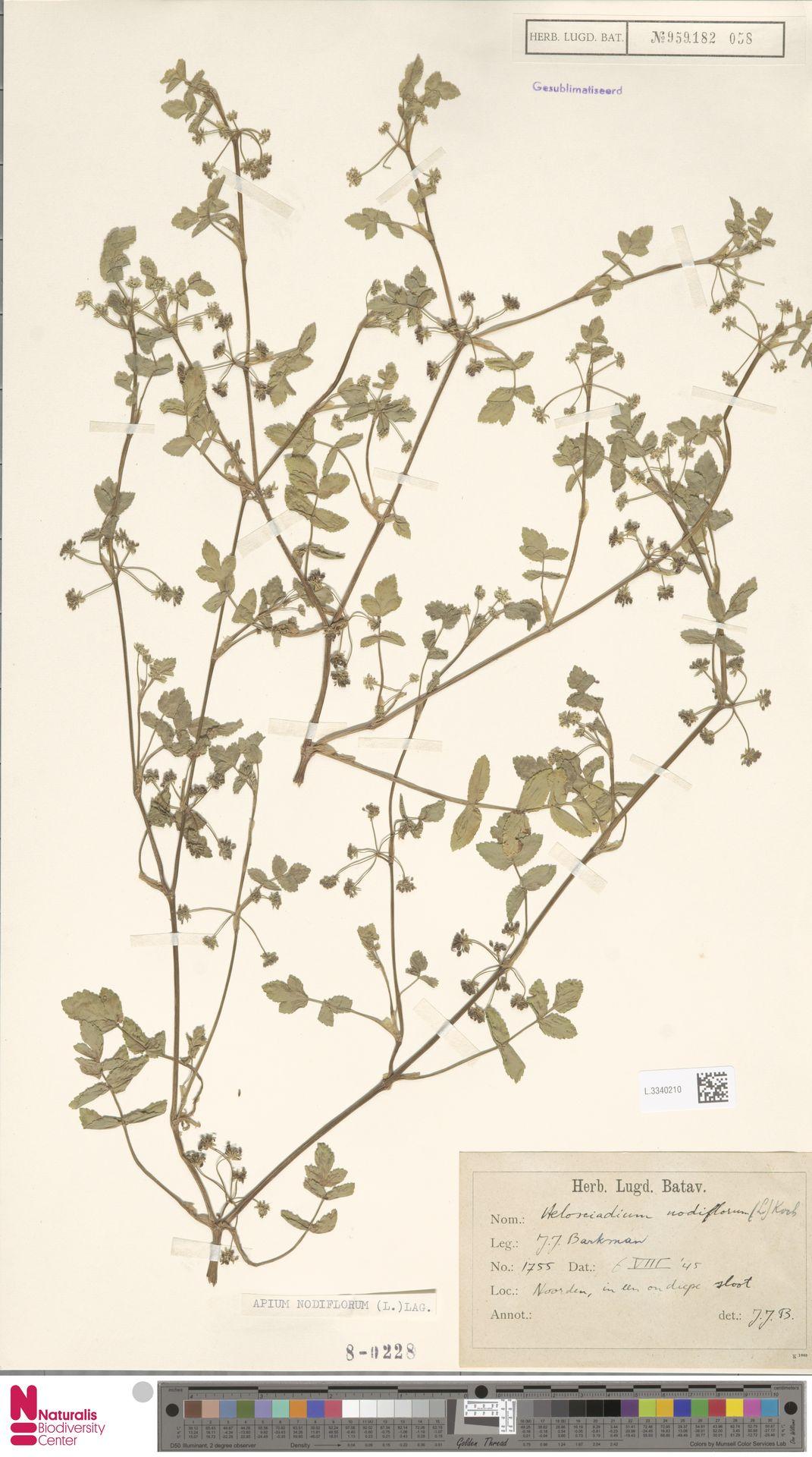L.3340210 | Apium nodiflorum (L.) Lag.
