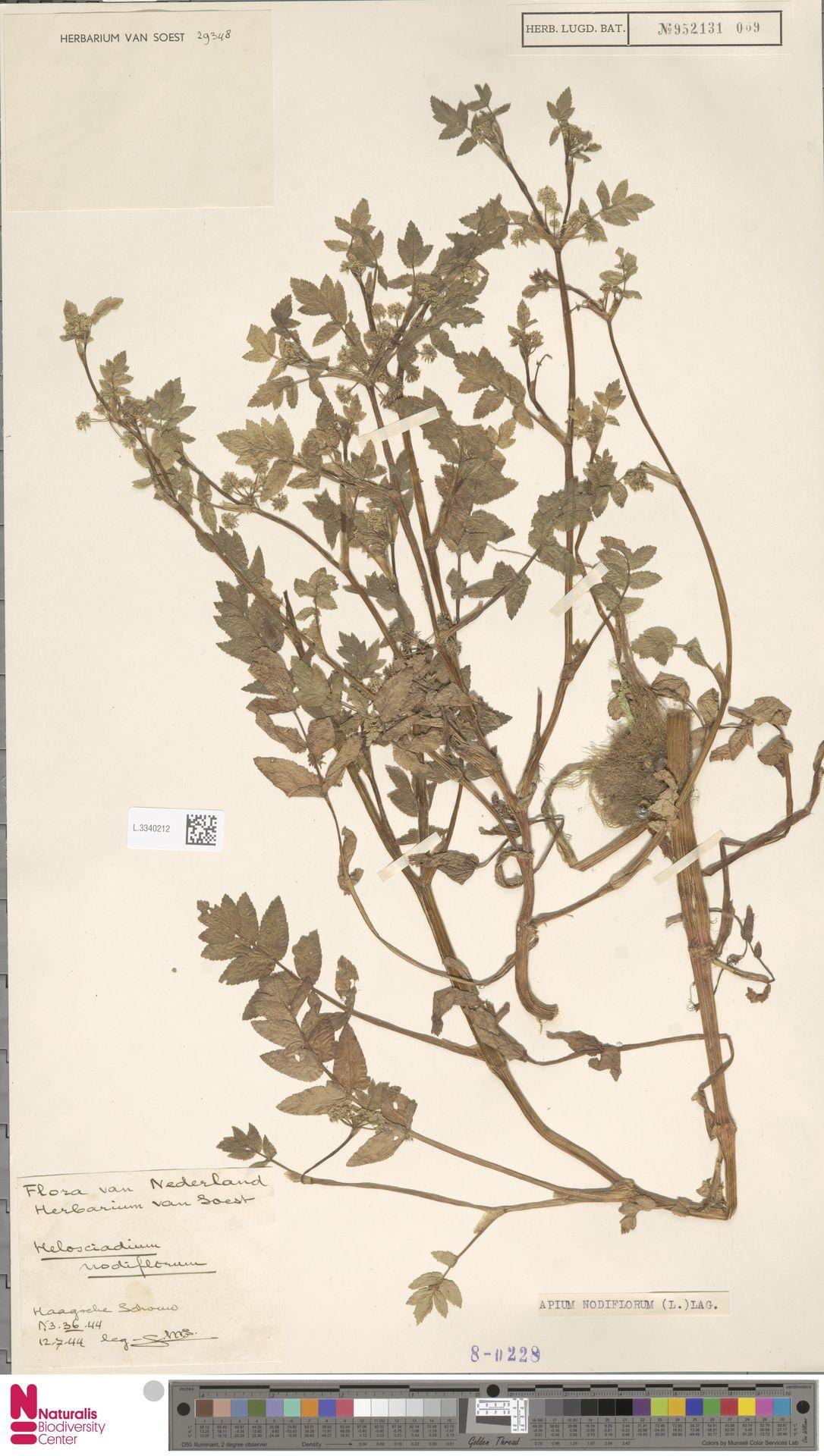 L.3340212 | Apium nodiflorum (L.) Lag.
