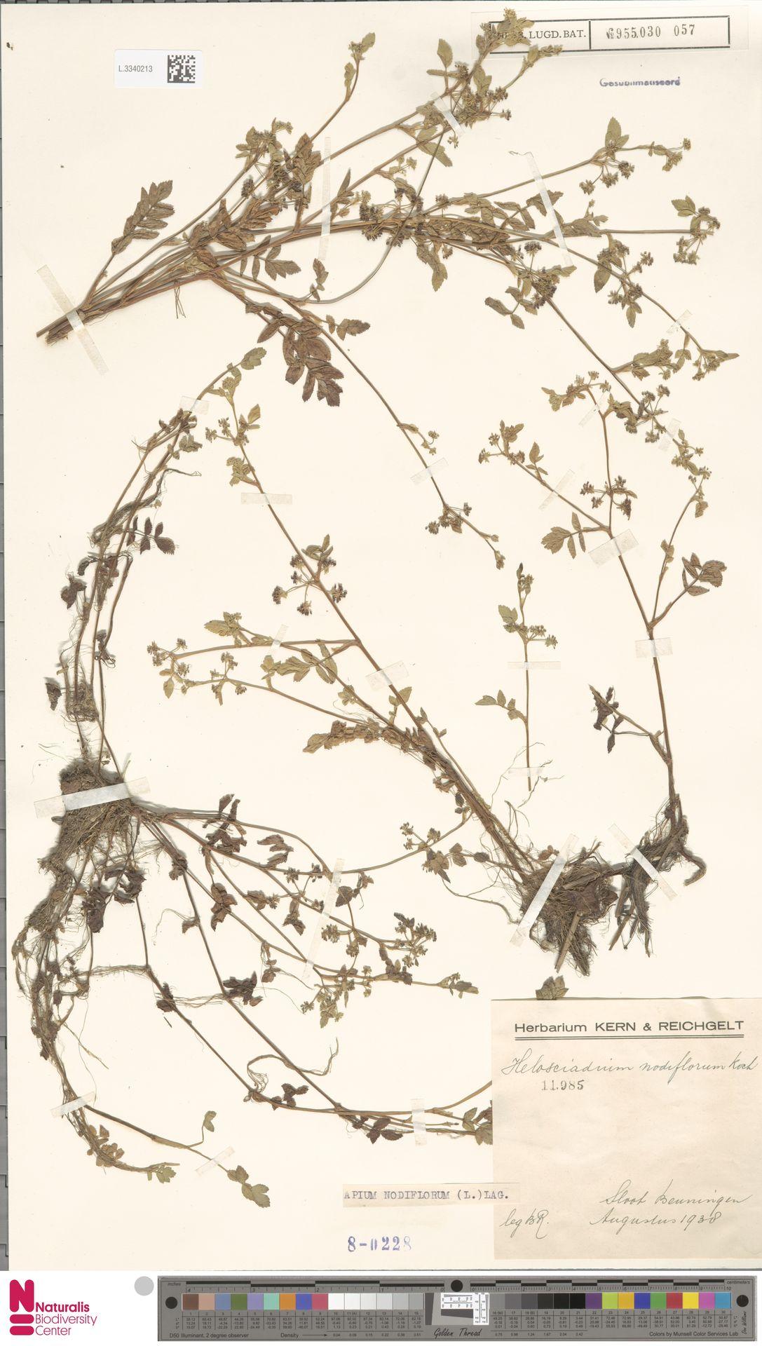 L.3340213 | Apium nodiflorum (L.) Lag.