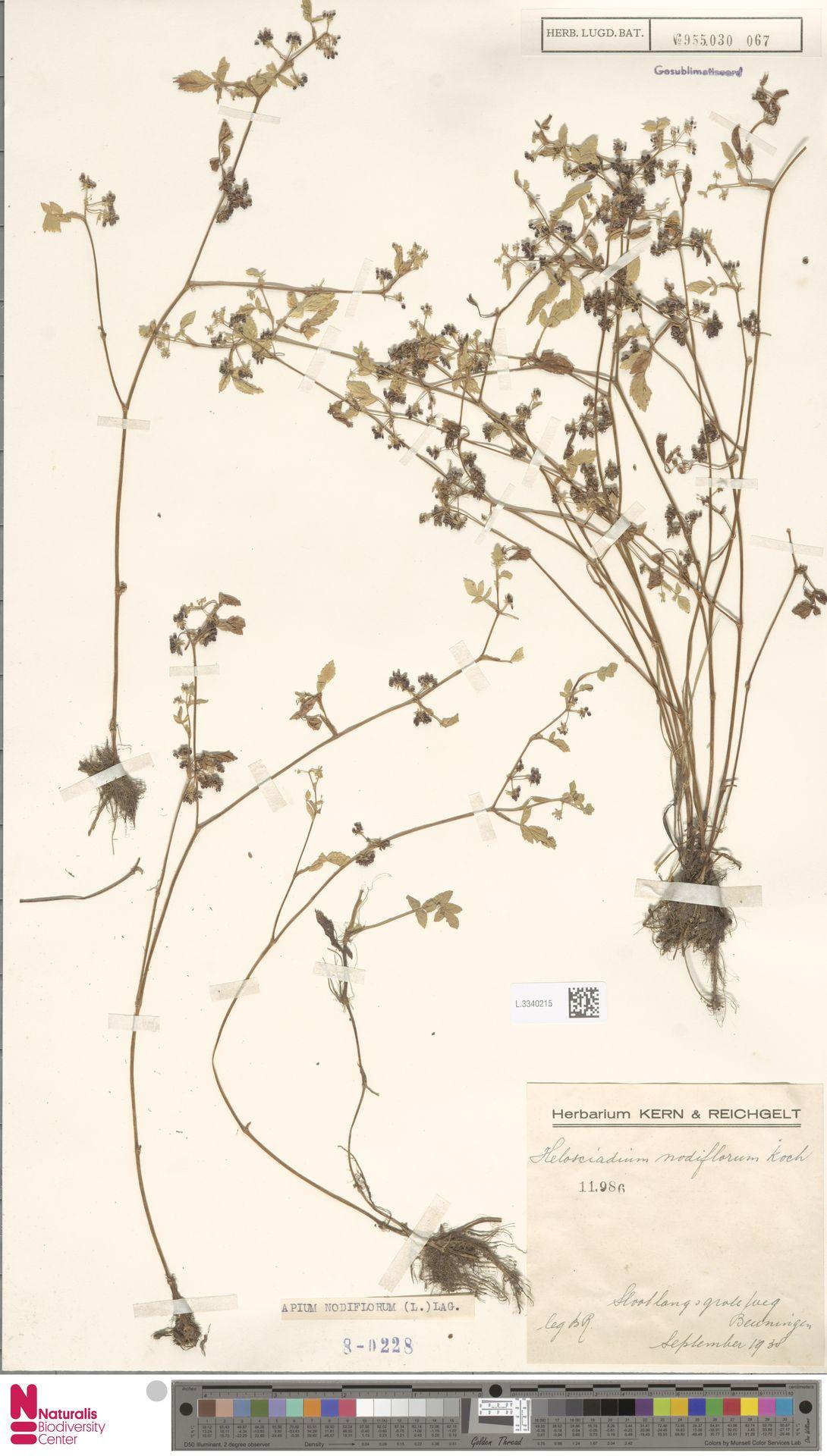 L.3340215   Apium nodiflorum (L.) Lag.