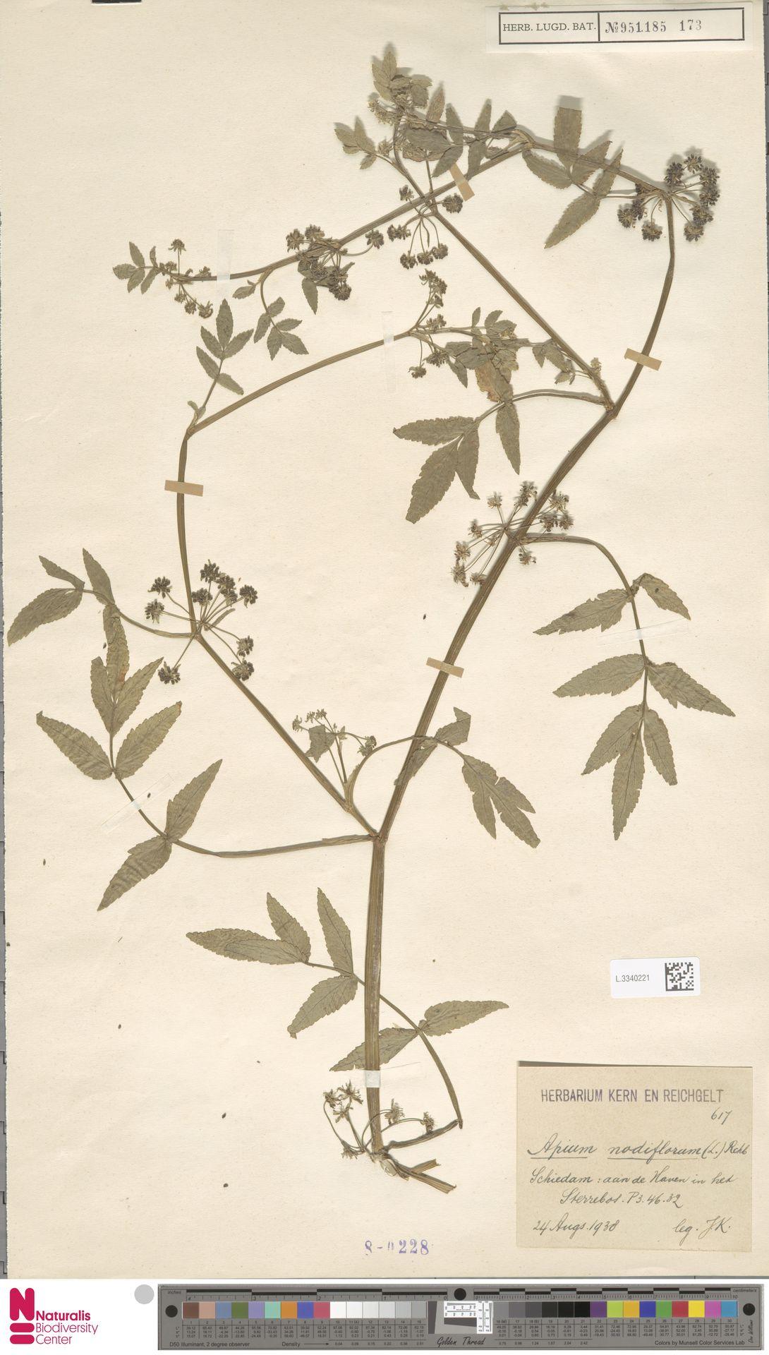 L.3340221 | Apium nodiflorum (L.) Lag.