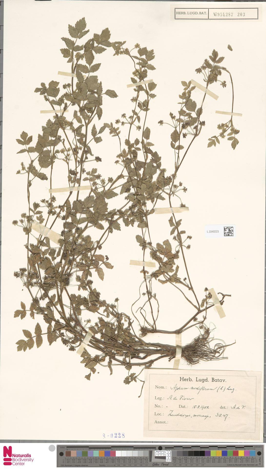 L.3340223 | Apium nodiflorum (L.) Lag.