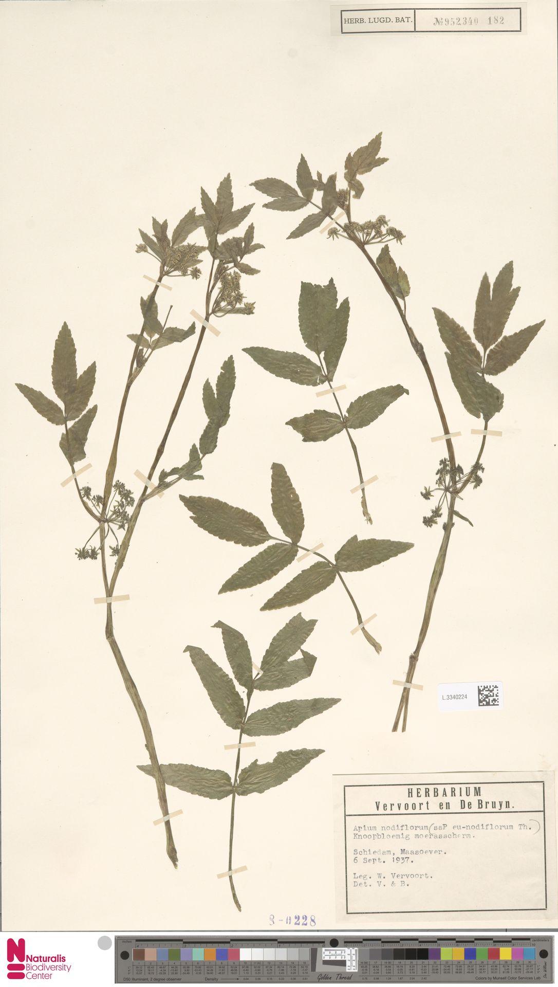 L.3340224 | Apium nodiflorum (L.) Lag.
