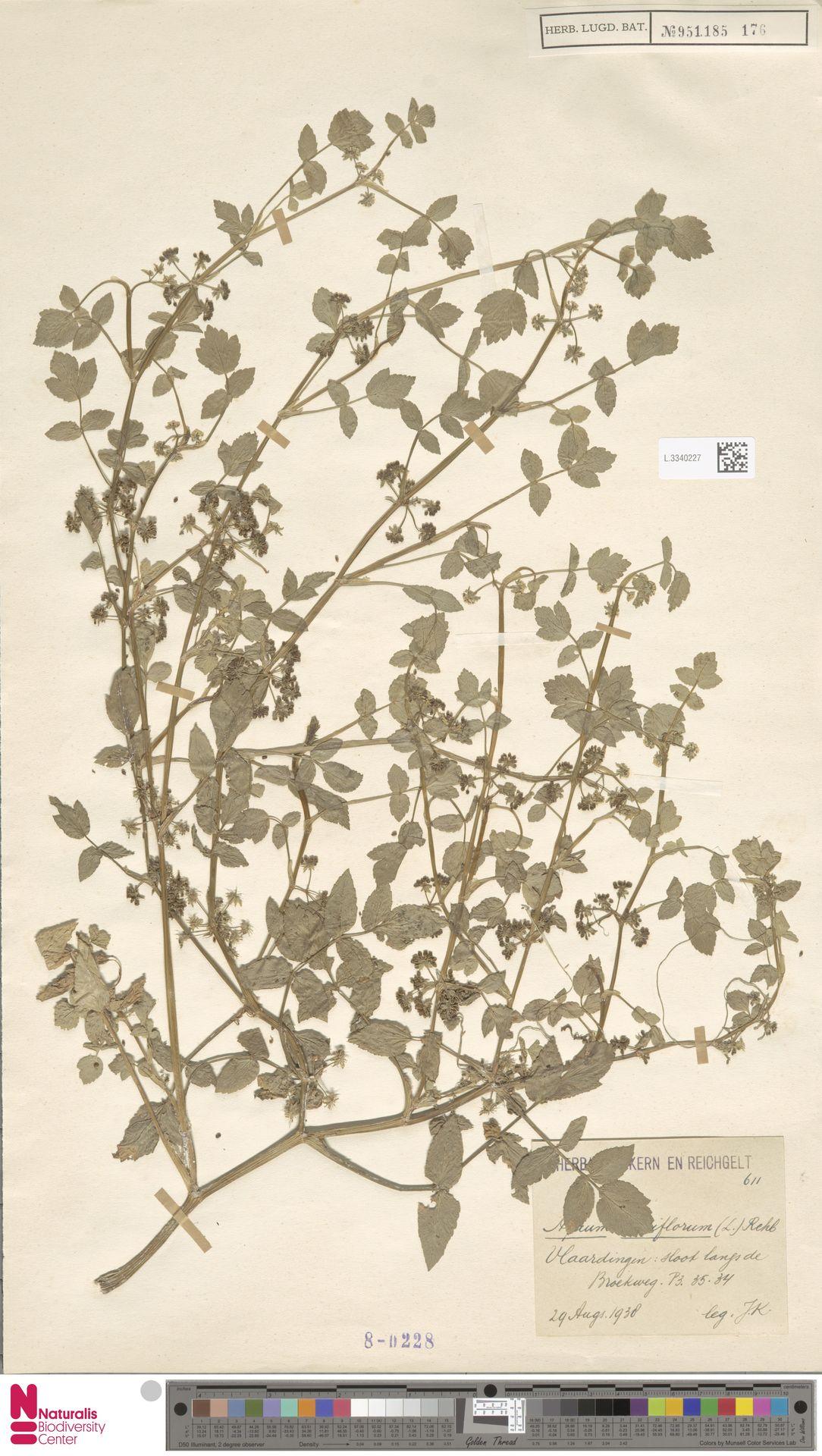 L.3340227 | Apium nodiflorum (L.) Lag.