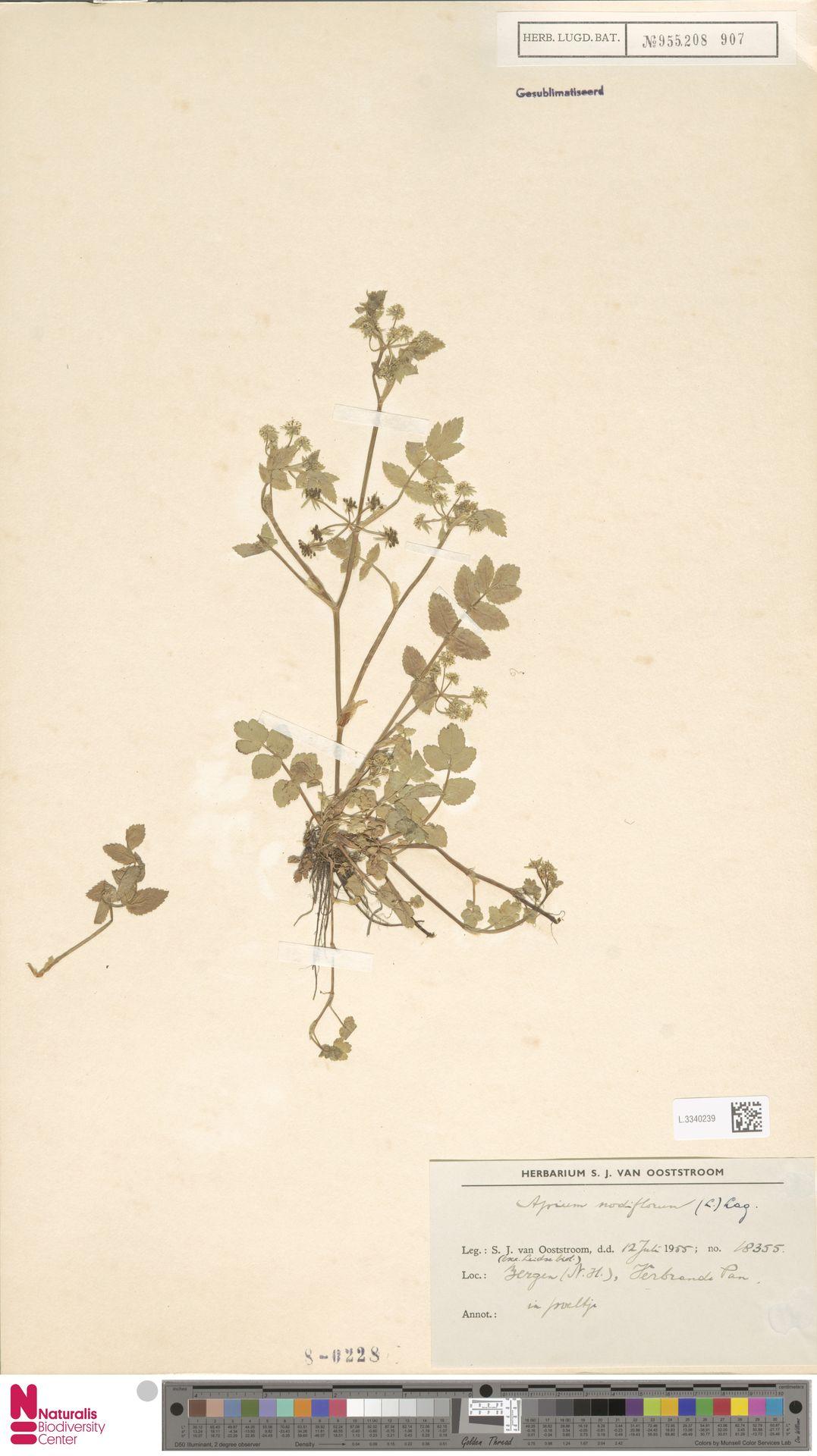 L.3340239 | Apium nodiflorum (L.) Lag.