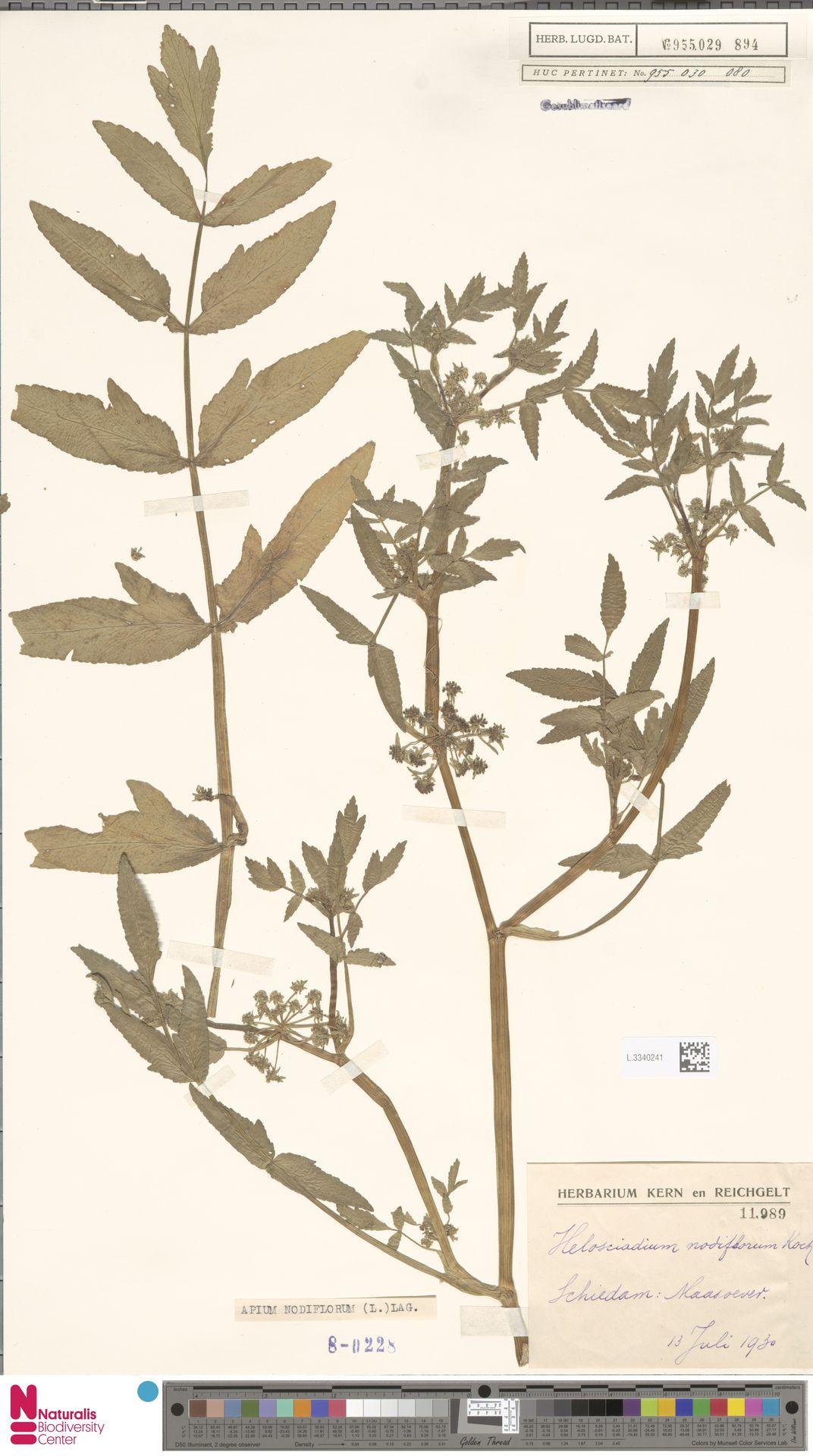 L.3340241 | Apium nodiflorum (L.) Lag.