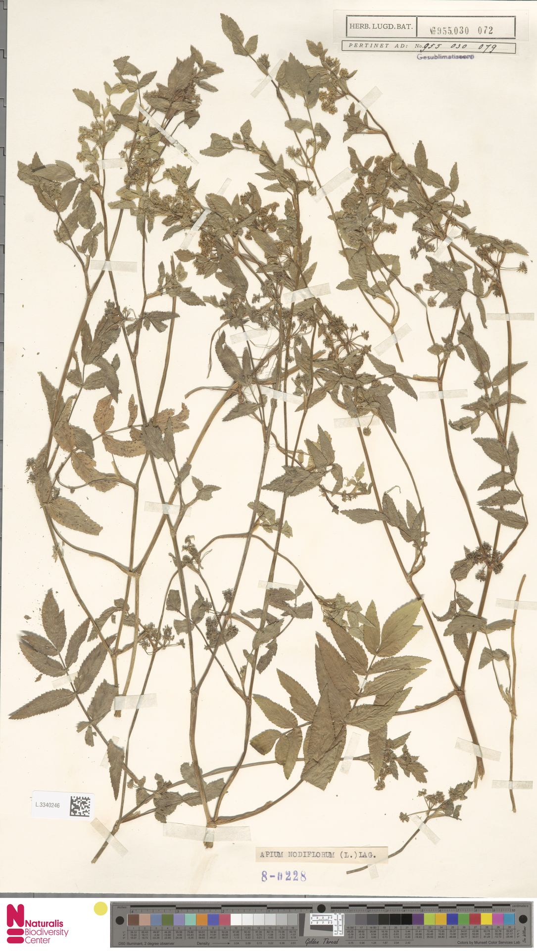 L.3340246 | Apium nodiflorum (L.) Lag.