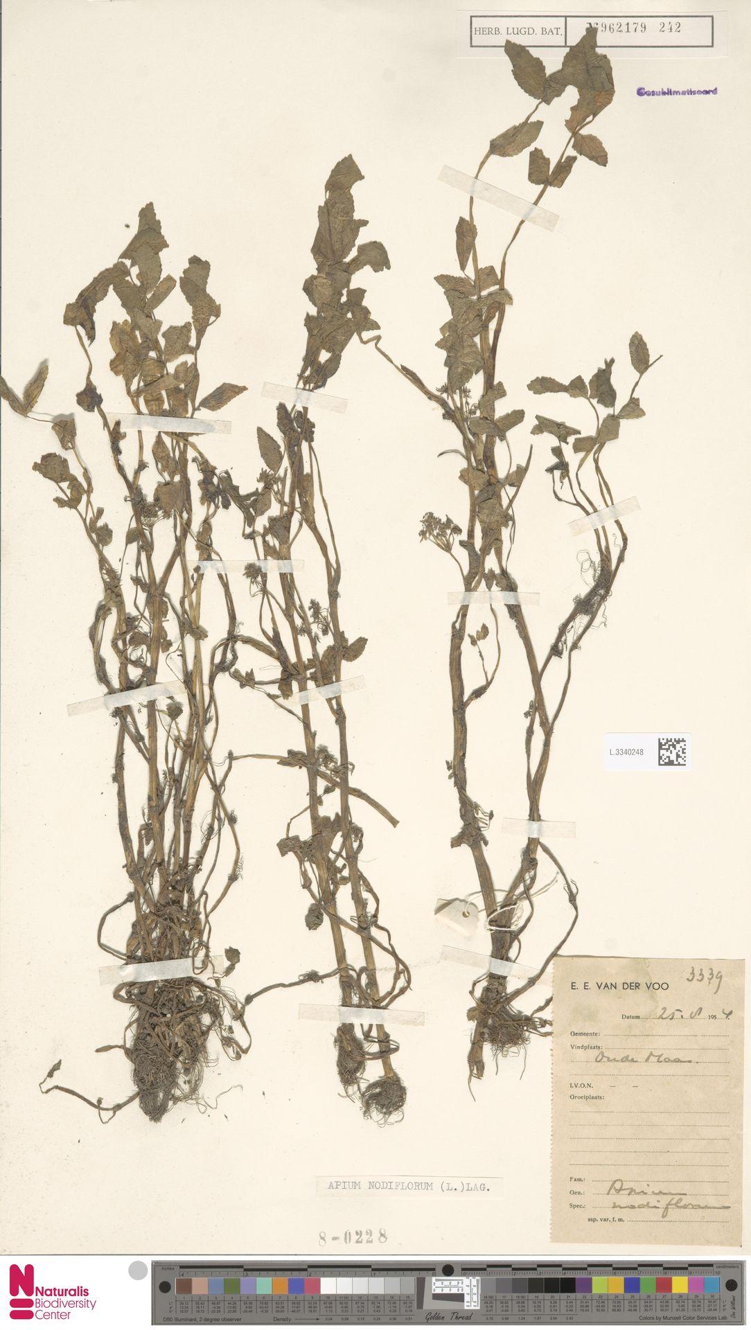 L.3340248 | Apium nodiflorum (L.) Lag.