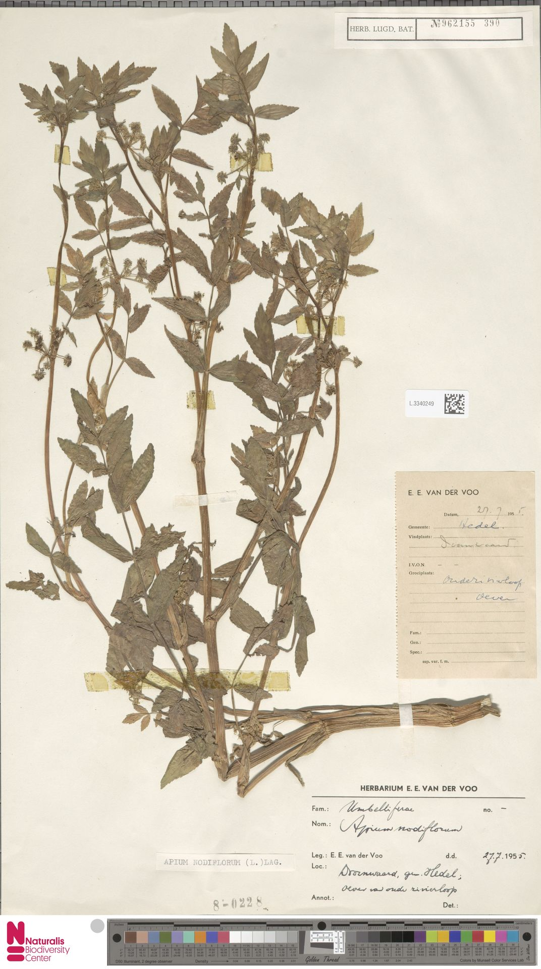 L.3340249 | Apium nodiflorum (L.) Lag.