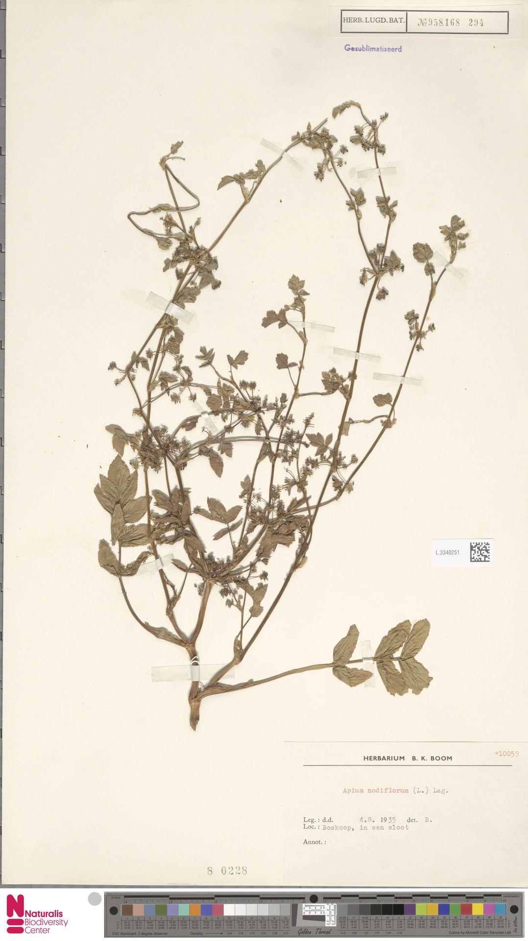 L.3340251 | Apium nodiflorum (L.) Lag.