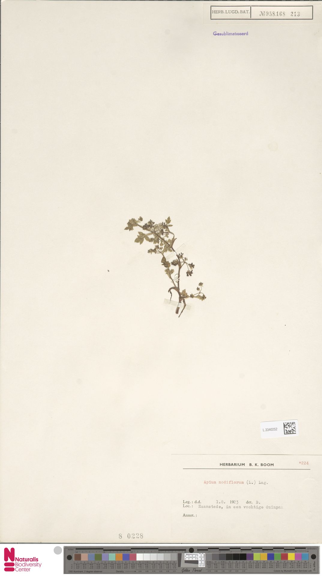 L.3340252 | Apium nodiflorum (L.) Lag.