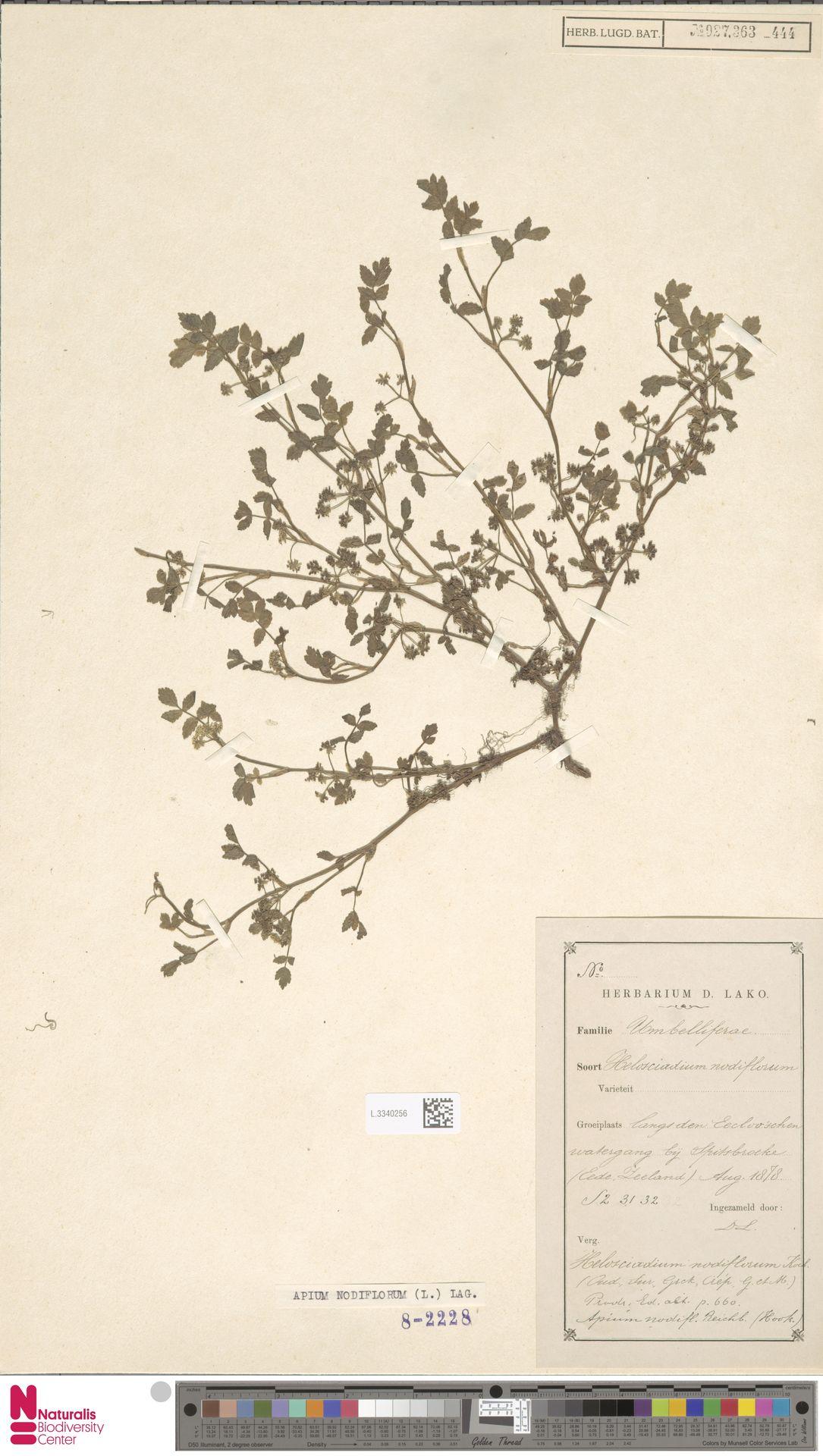 L.3340256 | Apium nodiflorum (L.) Lag.