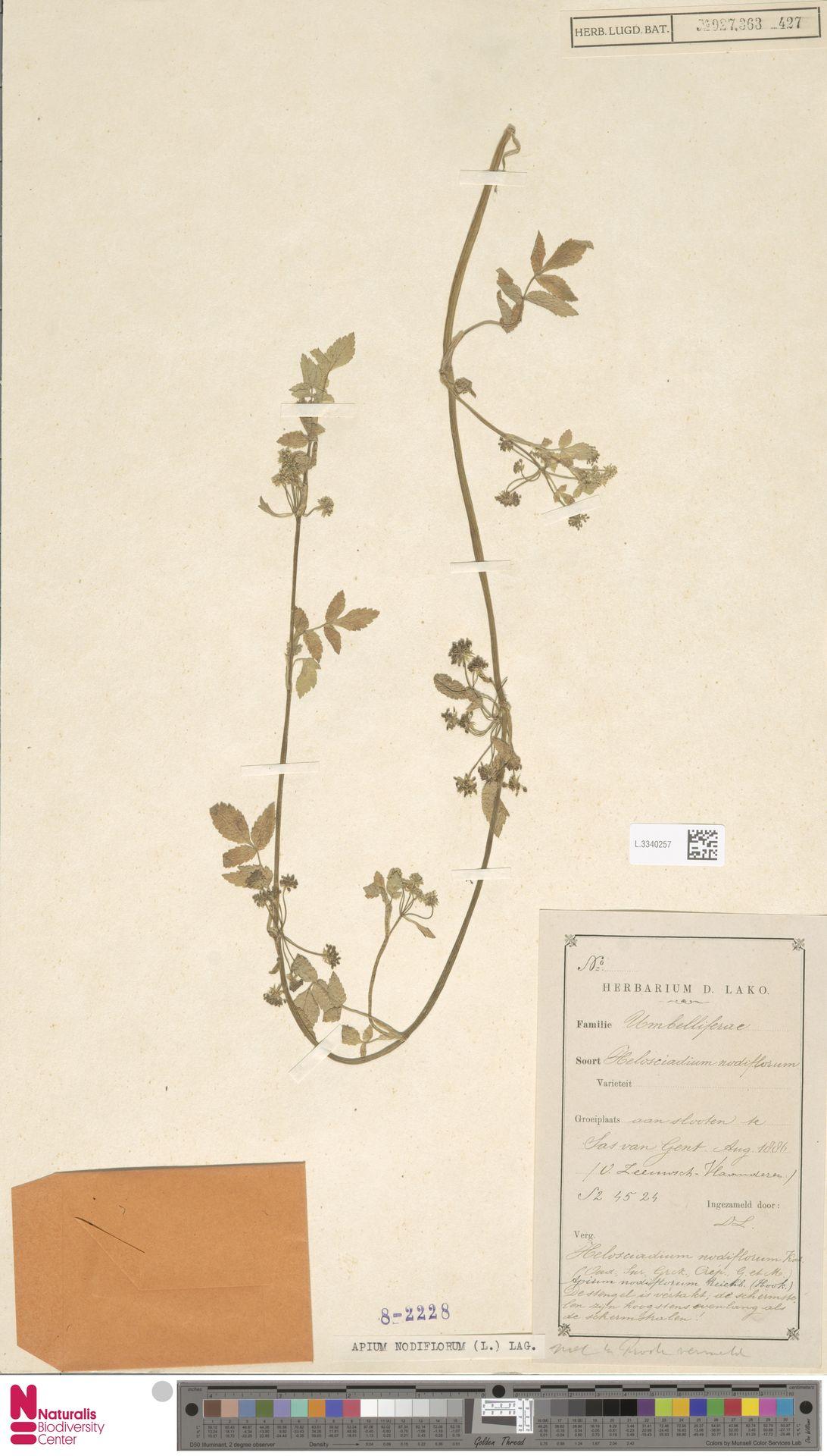 L.3340257 | Apium nodiflorum (L.) Lag.