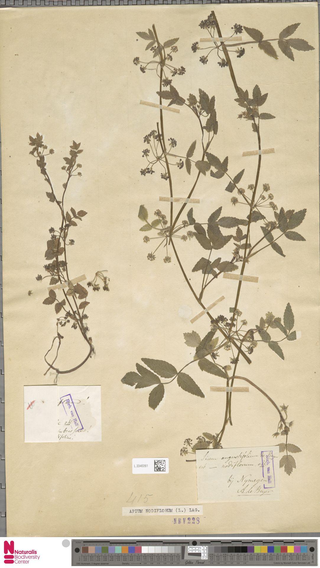 L.3340261 | Apium nodiflorum (L.) Lag.