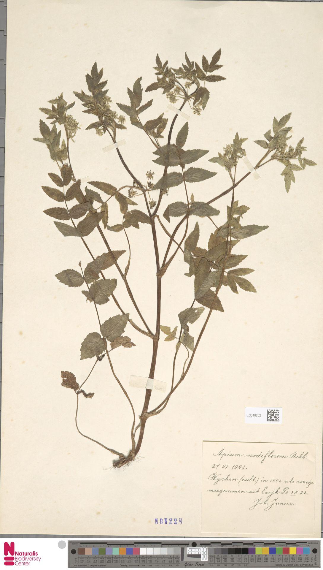 L.3340262 | Apium nodiflorum (L.) Lag.