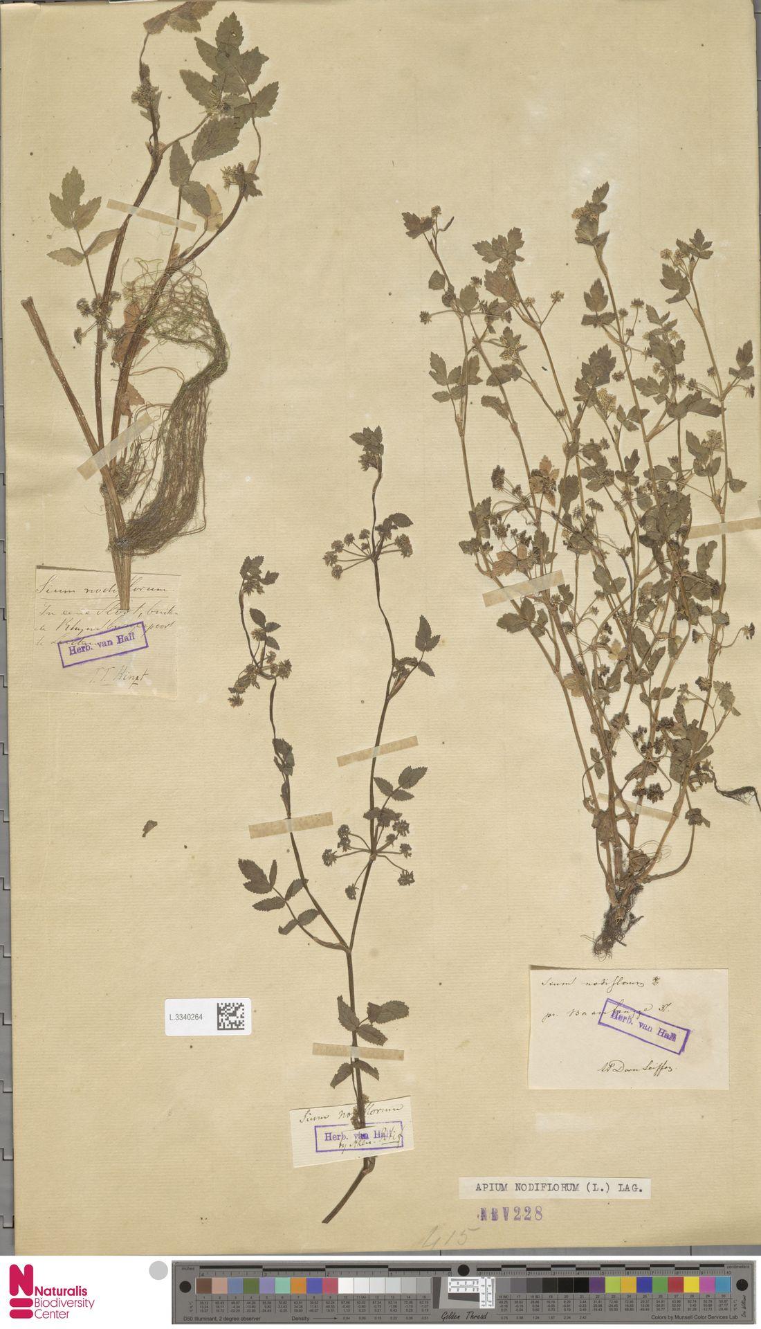 L.3340264 | Apium nodiflorum (L.) Lag.