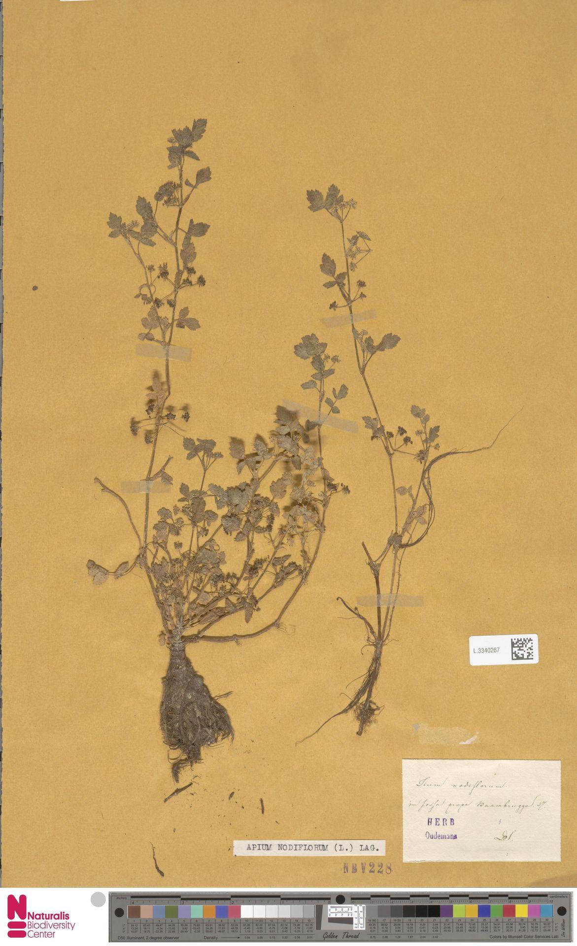 L.3340267 | Apium nodiflorum (L.) Lag.