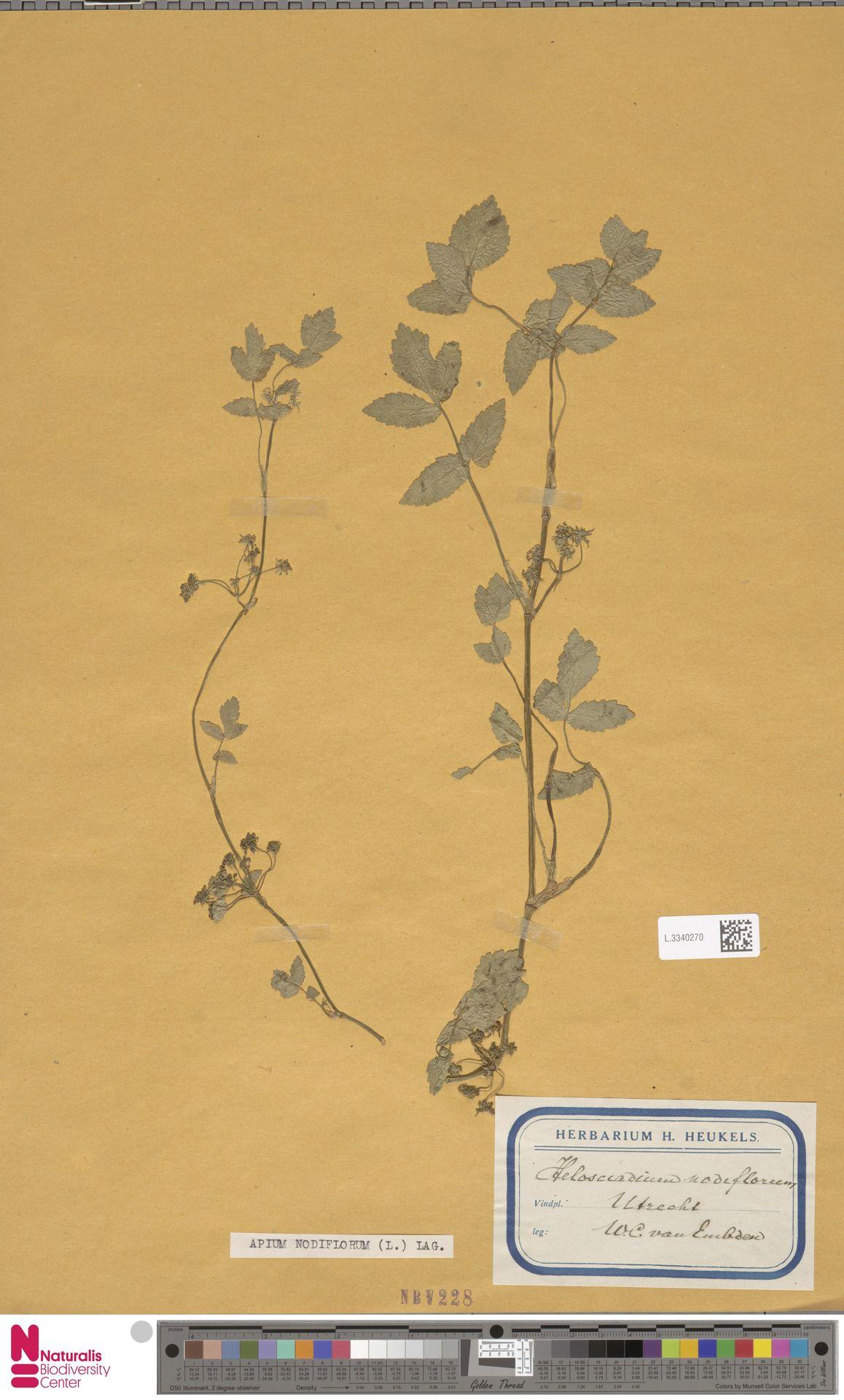 L.3340270 | Apium nodiflorum (L.) Lag.