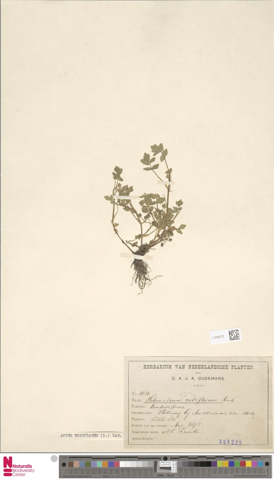 L.3340272 | Apium nodiflorum (L.) Lag.