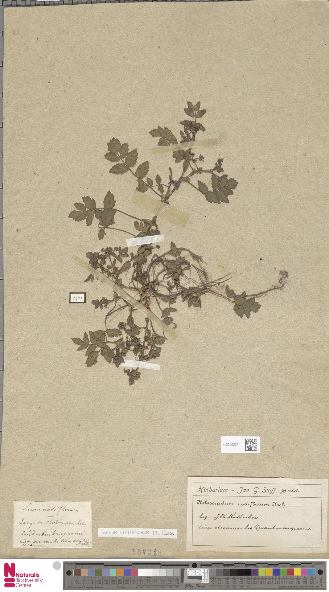 L.3340273 | Apium nodiflorum (L.) Lag.