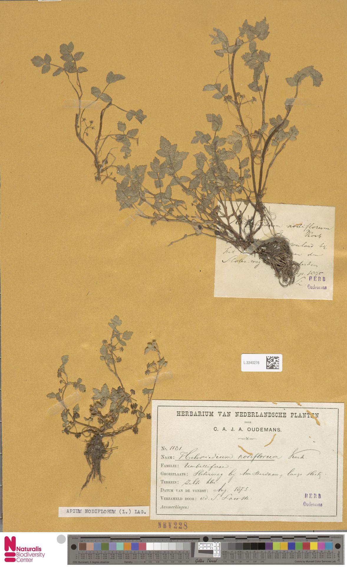 L.3340276 | Apium nodiflorum (L.) Lag.