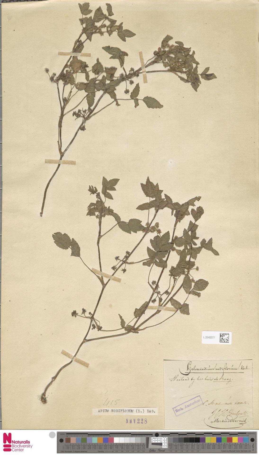 L.3340277 | Apium nodiflorum (L.) Lag.