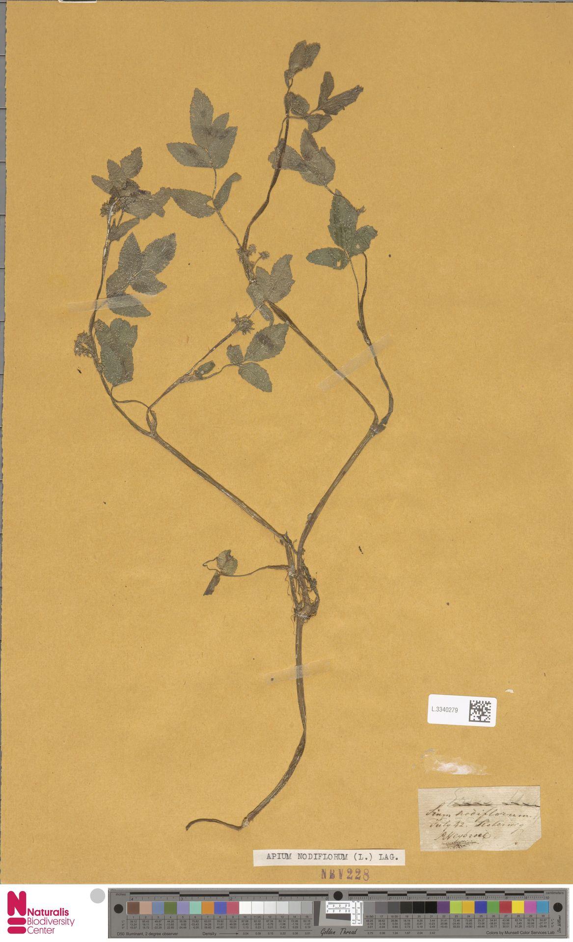 L.3340279 | Apium nodiflorum (L.) Lag.