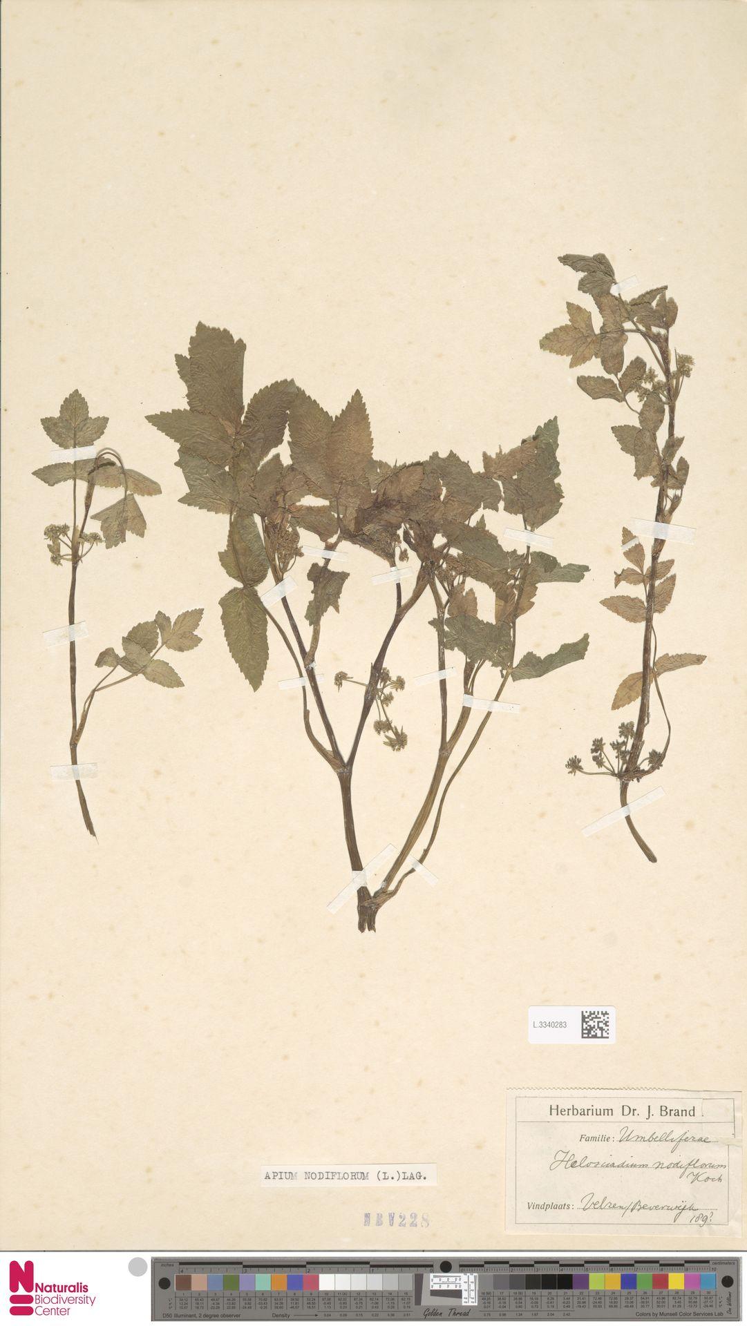L.3340283 | Apium nodiflorum (L.) Lag.