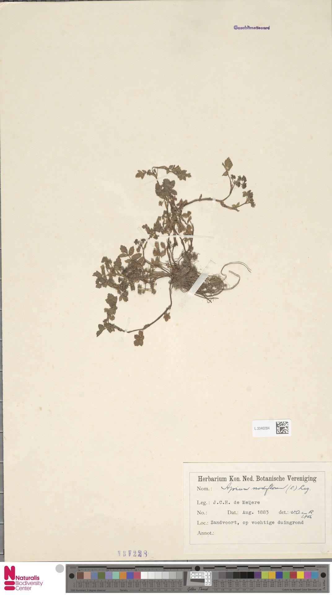 L.3340284 | Apium nodiflorum (L.) Lag.