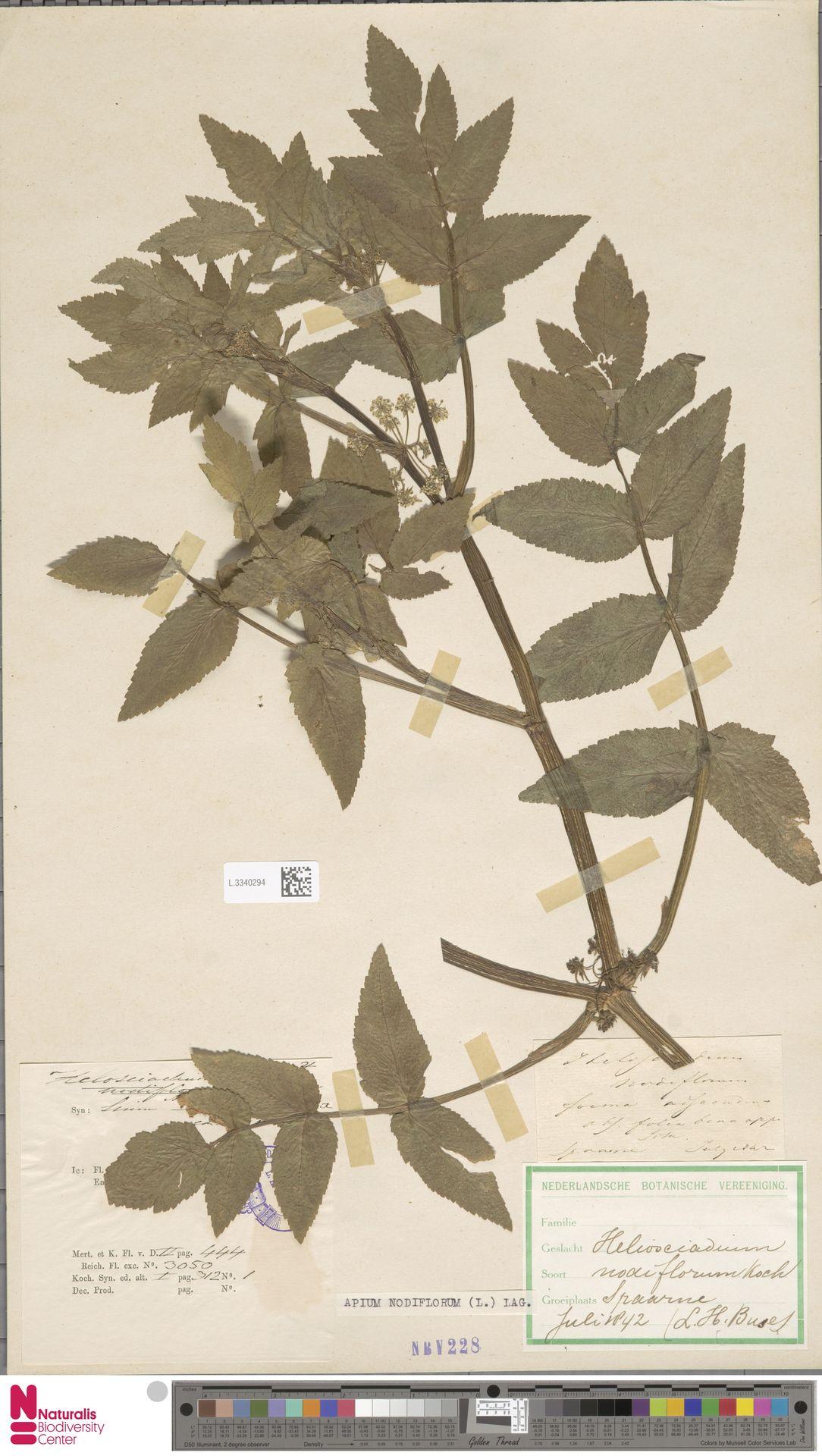 L.3340294 | Apium nodiflorum (L.) Lag.