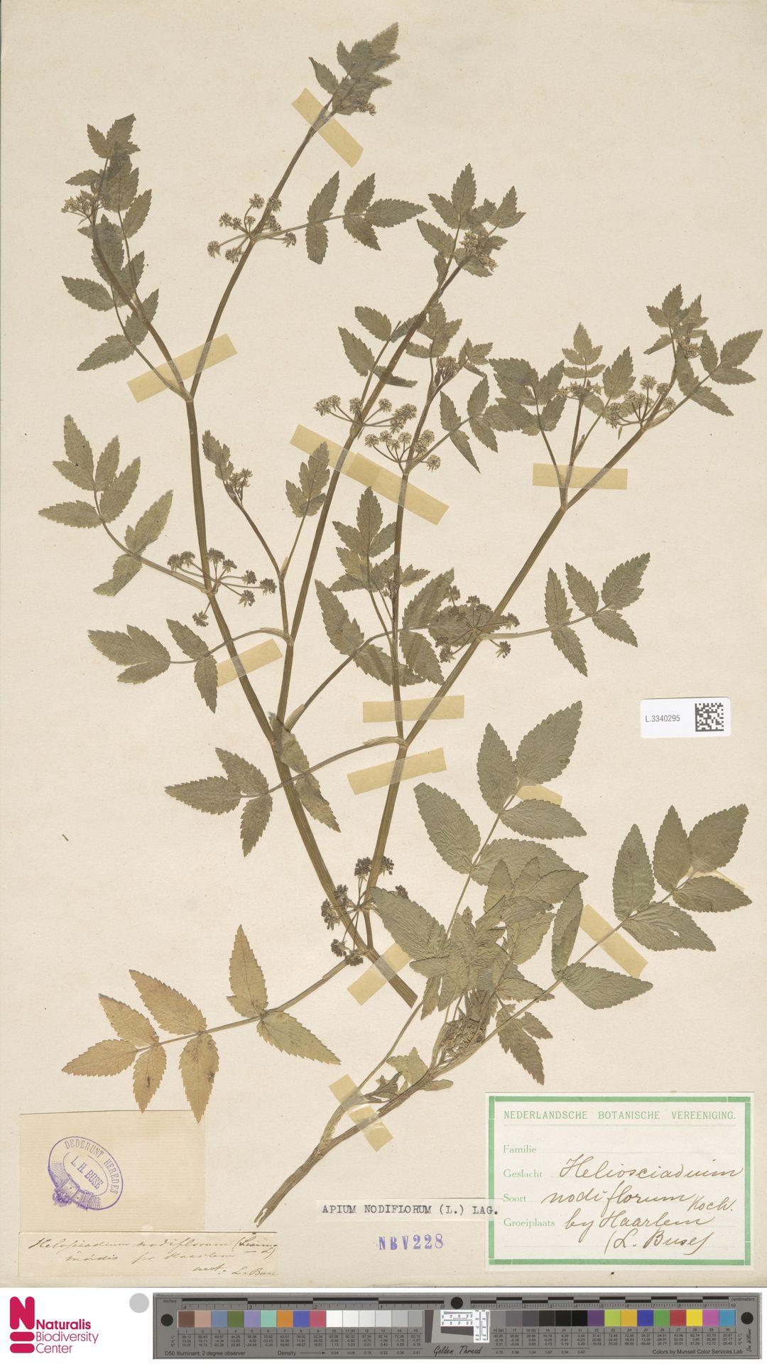 L.3340295 | Apium nodiflorum (L.) Lag.