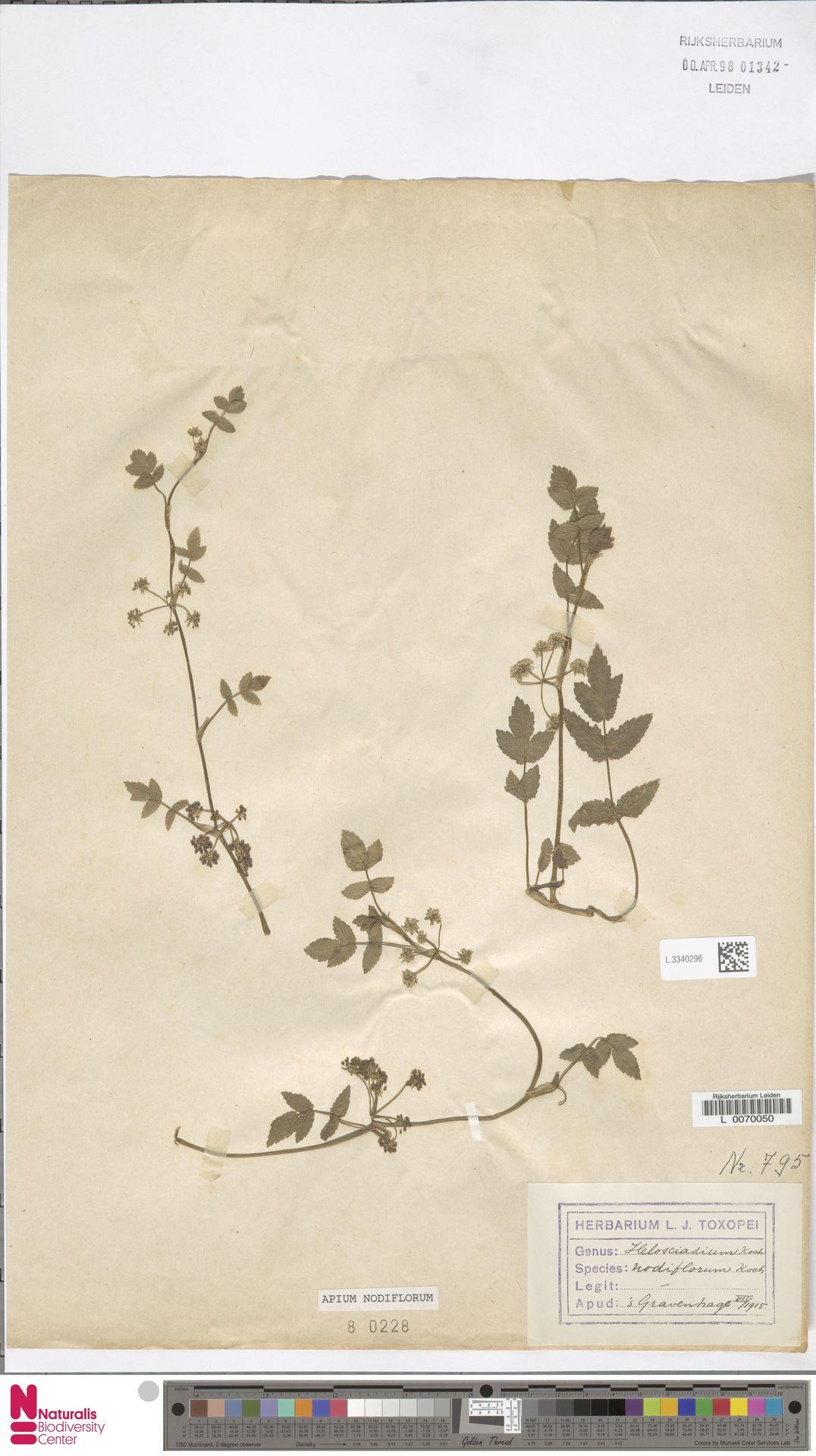 L.3340296 | Apium nodiflorum (L.) Lag.