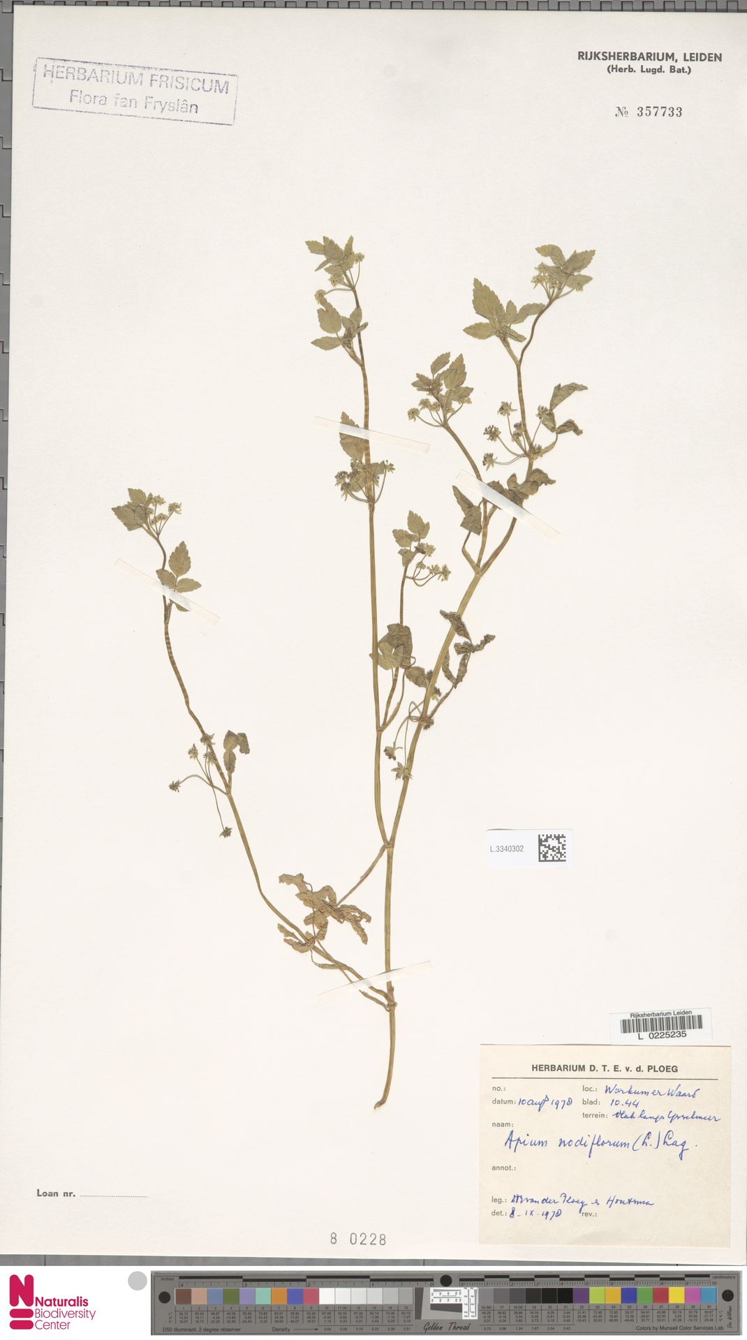 L.3340302 | Apium nodiflorum (L.) Lag.