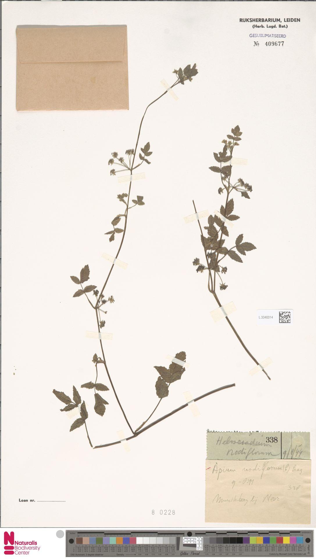 L.3340314 | Apium nodiflorum (L.) Lag.