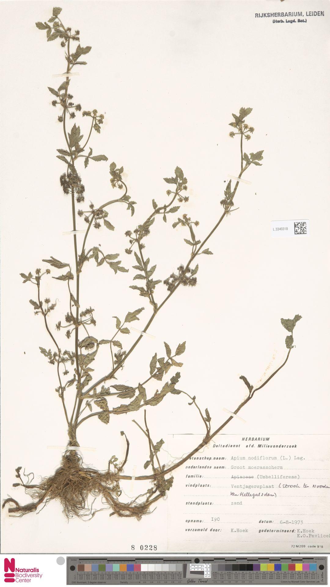 L.3340318 | Apium nodiflorum (L.) Lag.