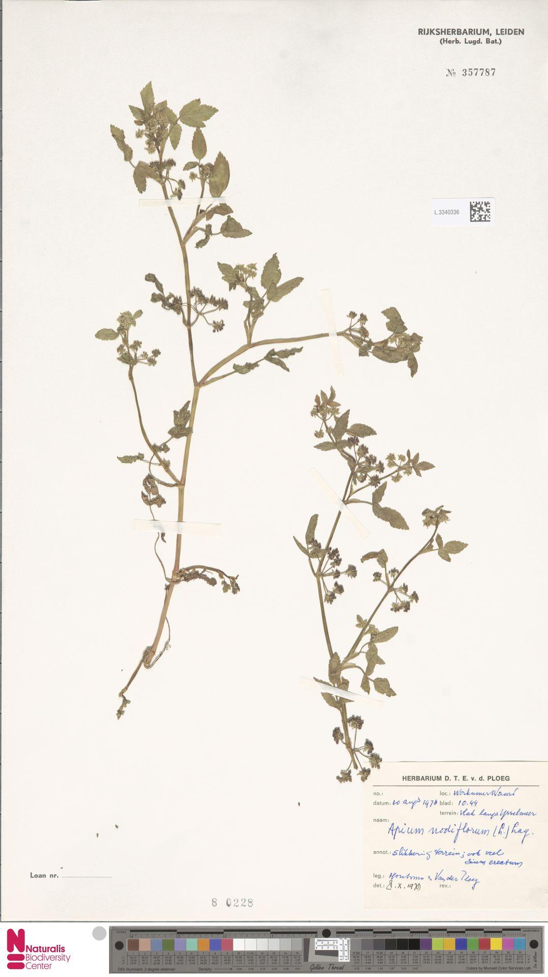 L.3340336 | Apium nodiflorum (L.) Lag.
