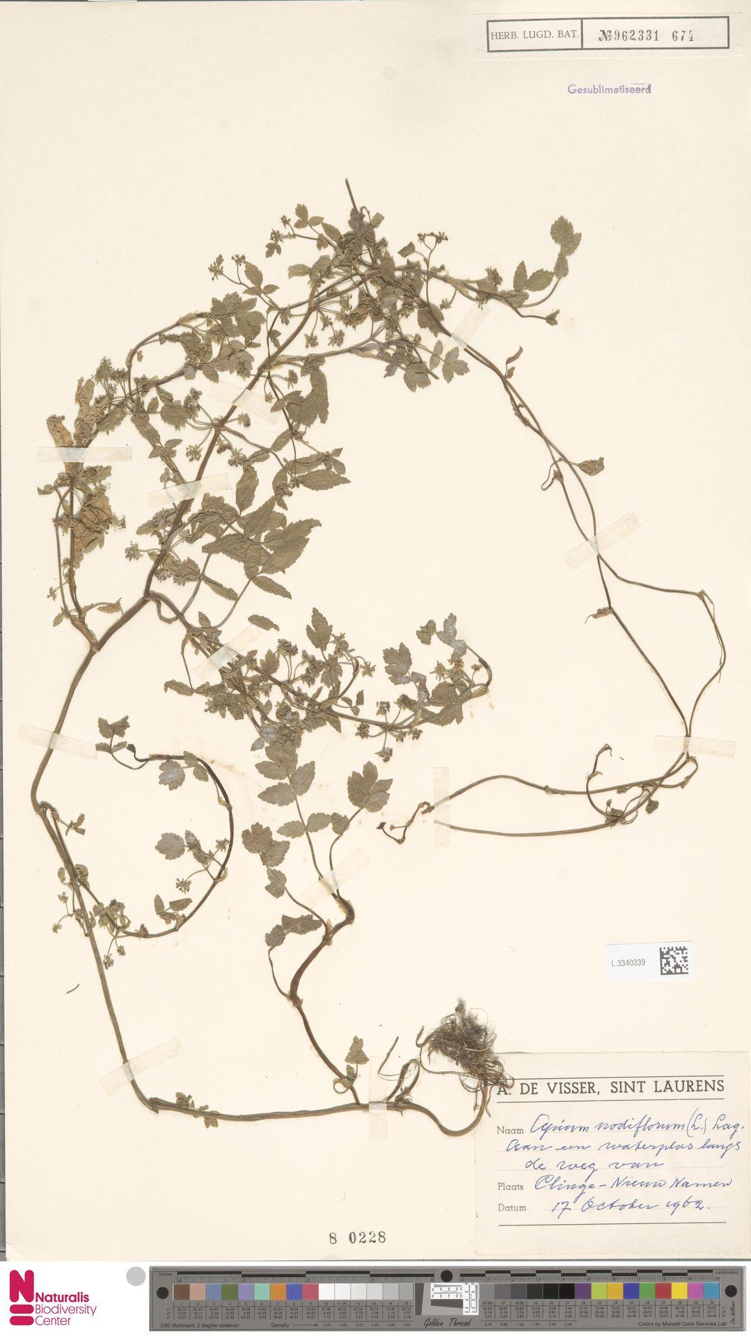 L.3340339 | Apium nodiflorum (L.) Lag.