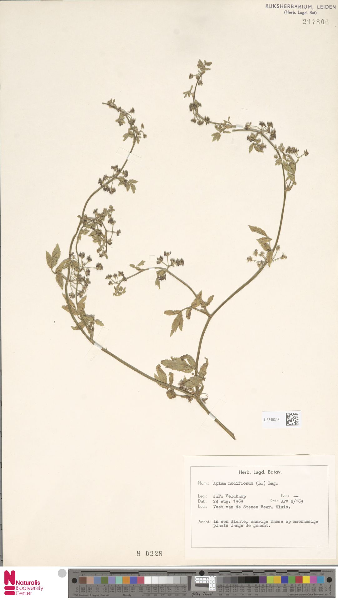 L.3340343 | Apium nodiflorum (L.) Lag.