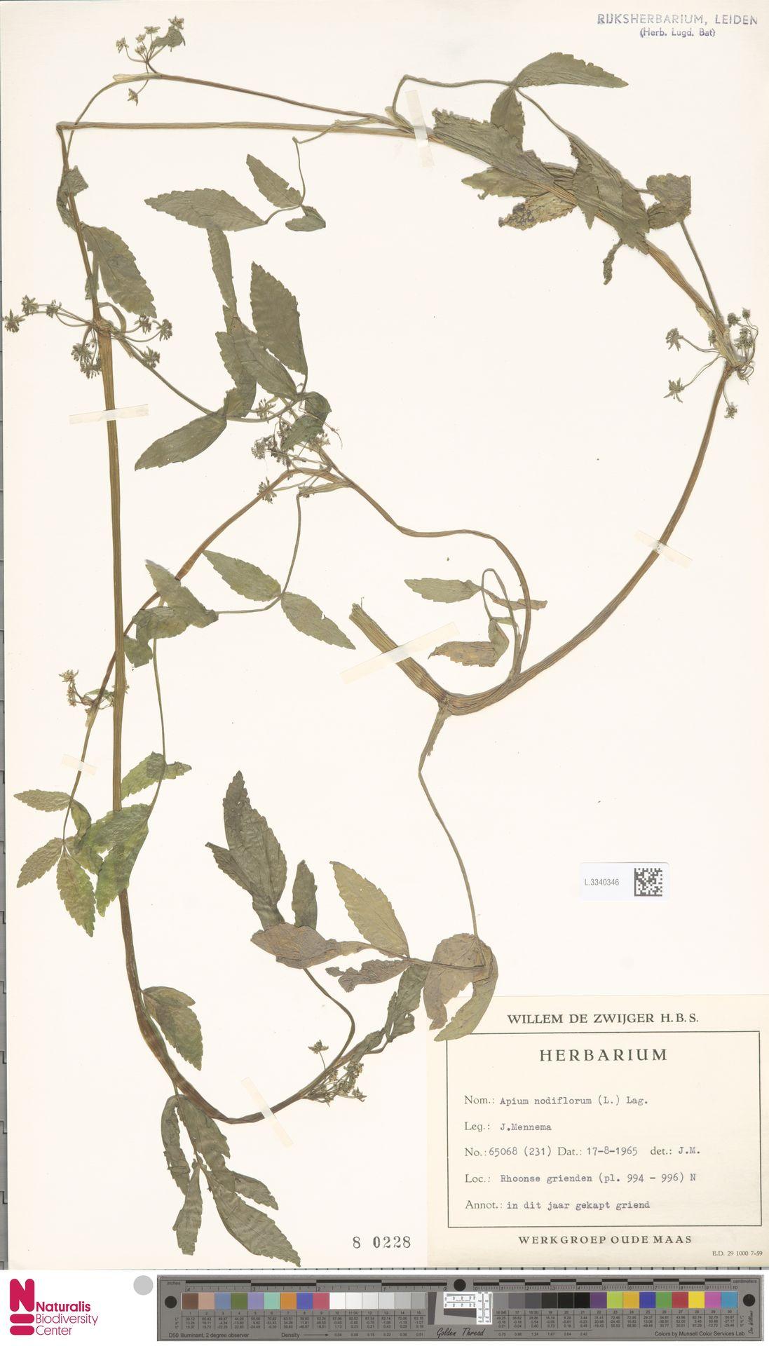 L.3340346 | Apium nodiflorum (L.) Lag.
