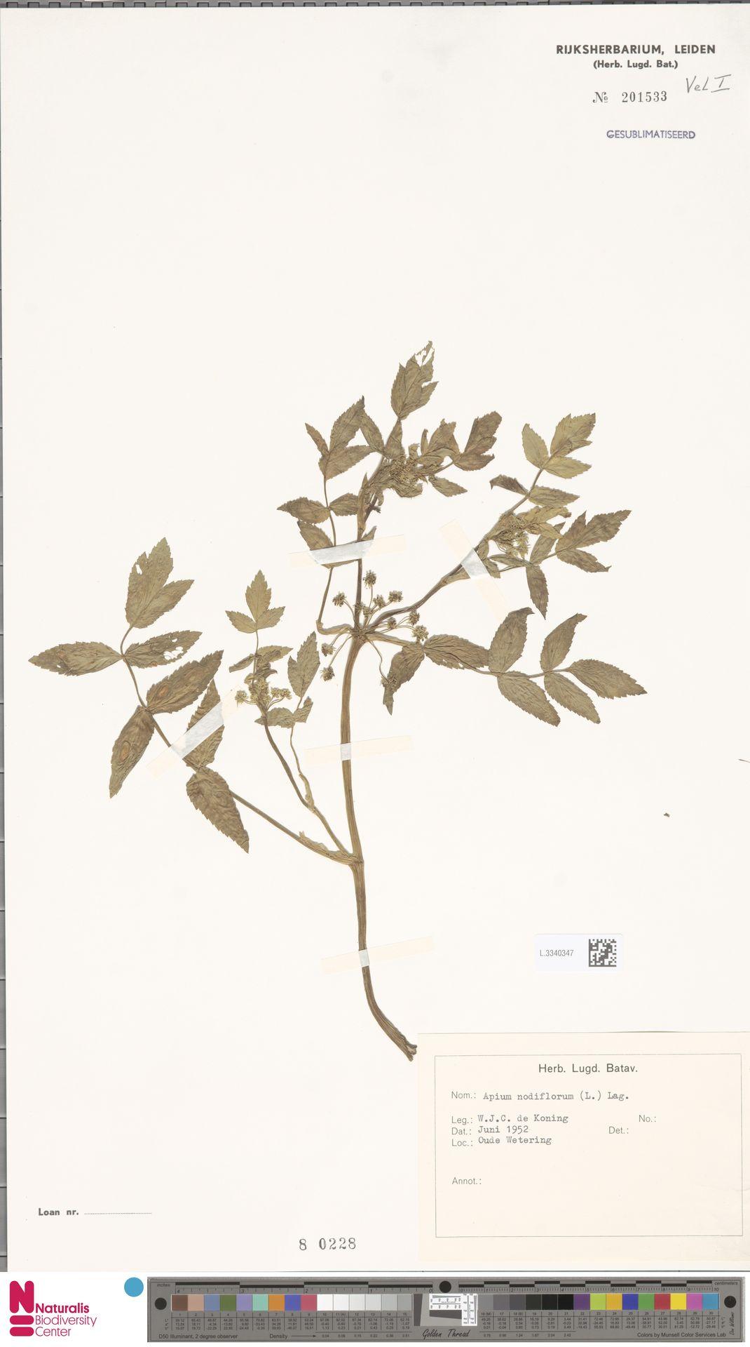 L.3340347 | Apium nodiflorum (L.) Lag.