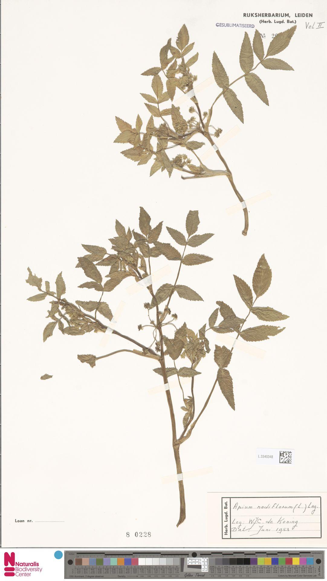 L.3340348 | Apium nodiflorum (L.) Lag.