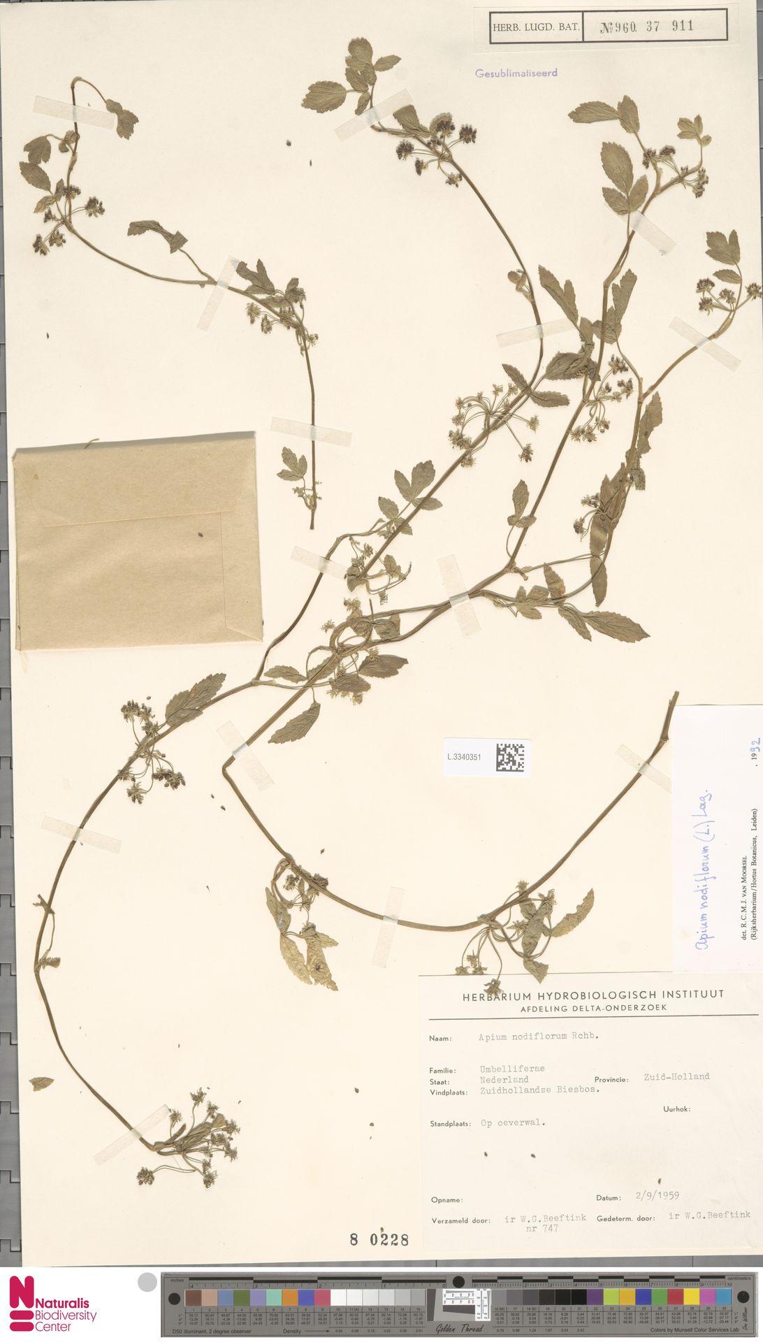 L.3340351   Apium nodiflorum (L.) Lag.
