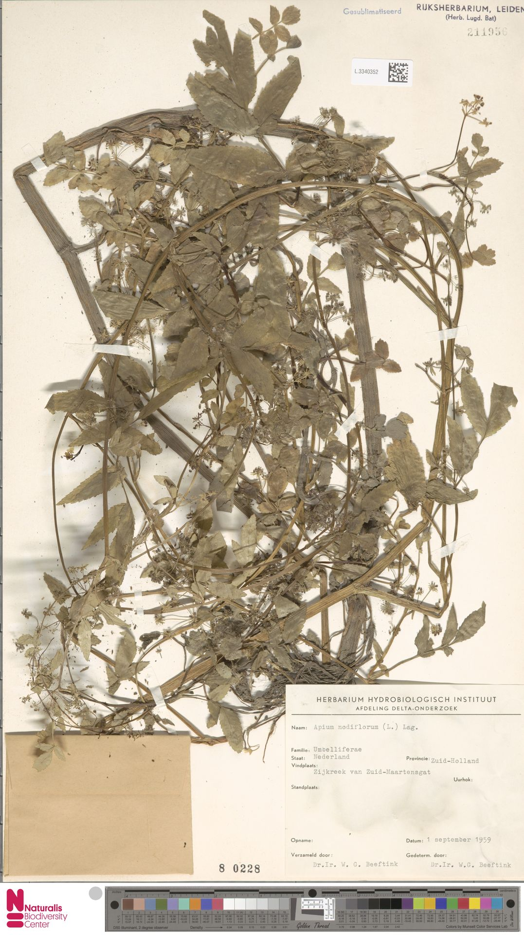 L.3340352 | Apium nodiflorum (L.) Lag.