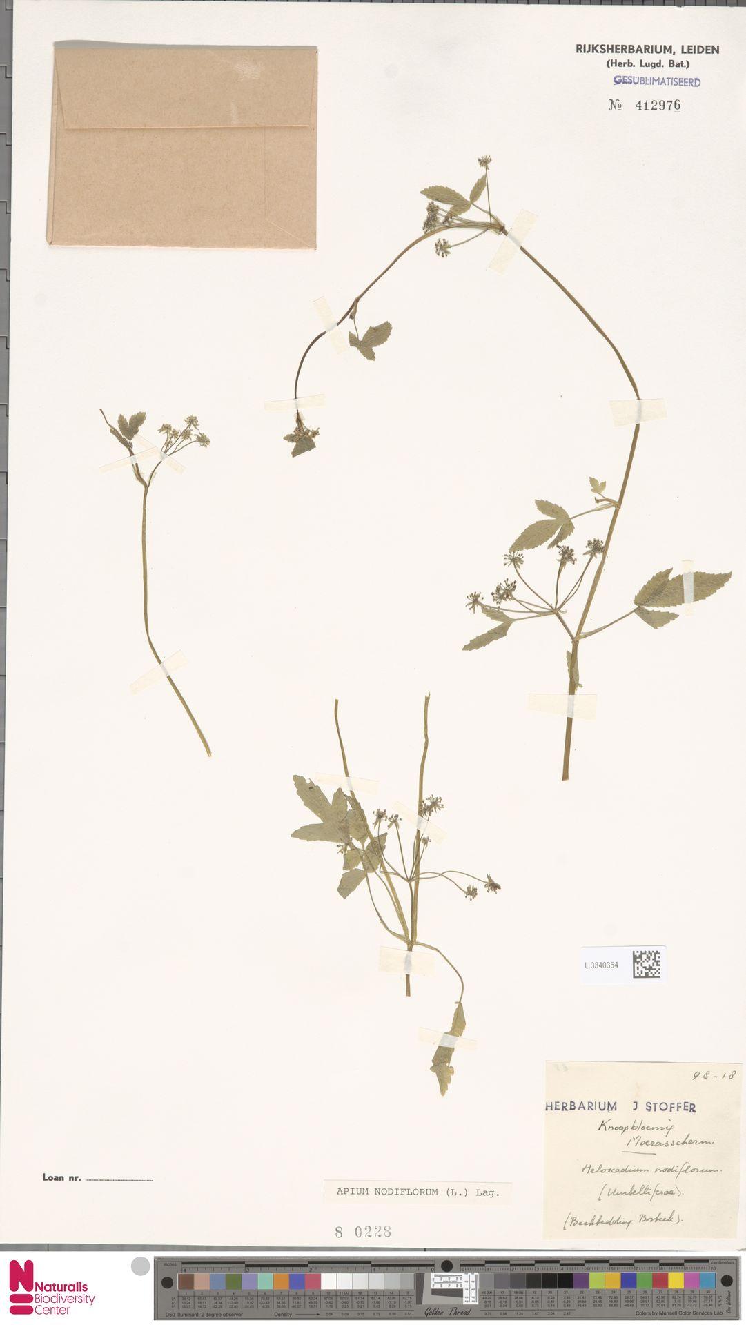 L.3340354 | Apium nodiflorum (L.) Lag.