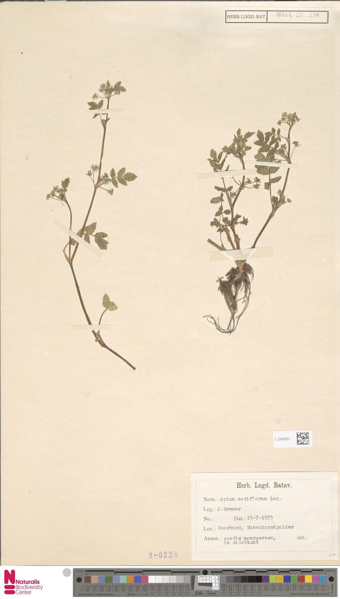 L.3340357 | Apium nodiflorum (L.) Lag.