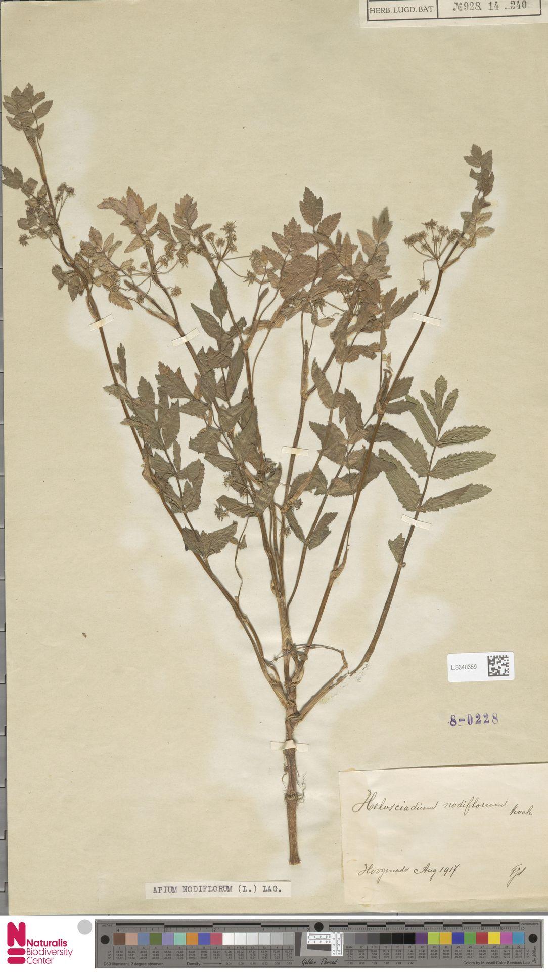 L.3340359 | Apium nodiflorum (L.) Lag.