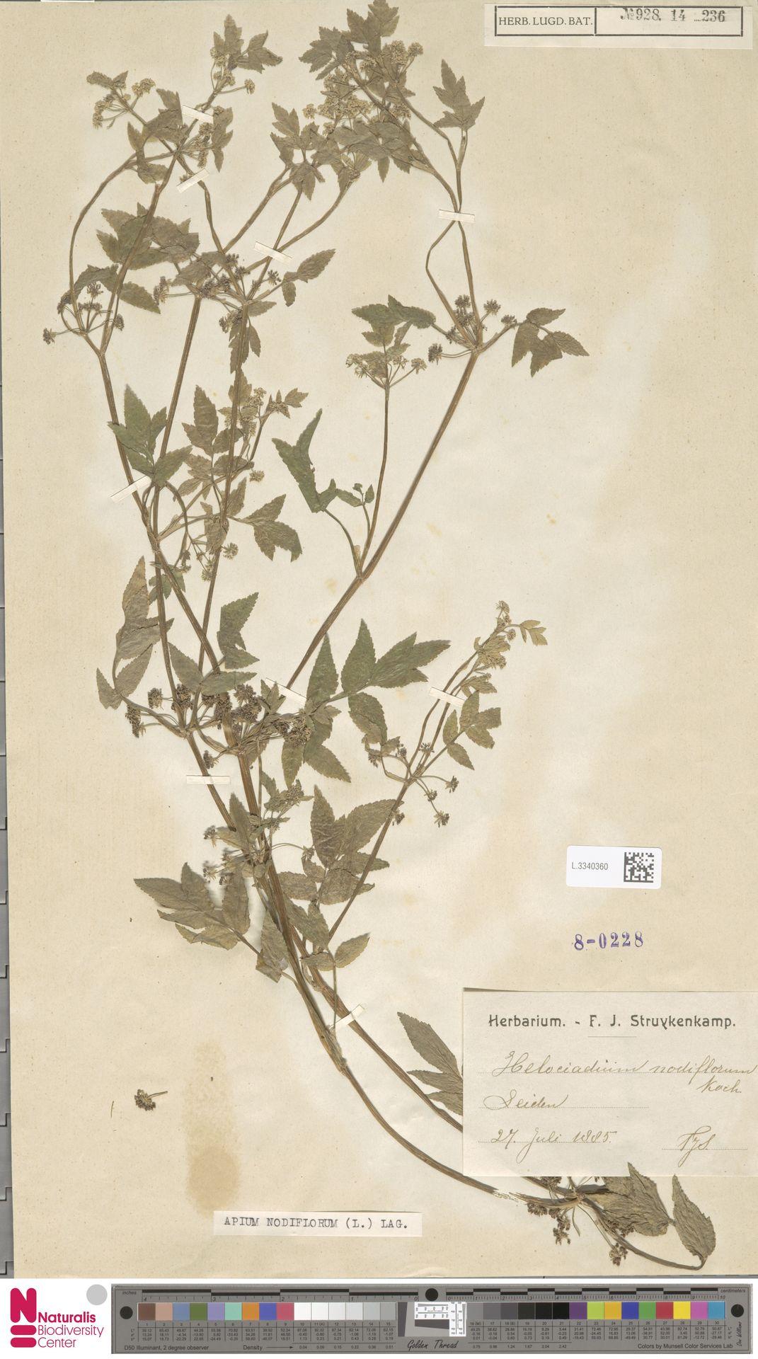 L.3340360 | Apium nodiflorum (L.) Lag.
